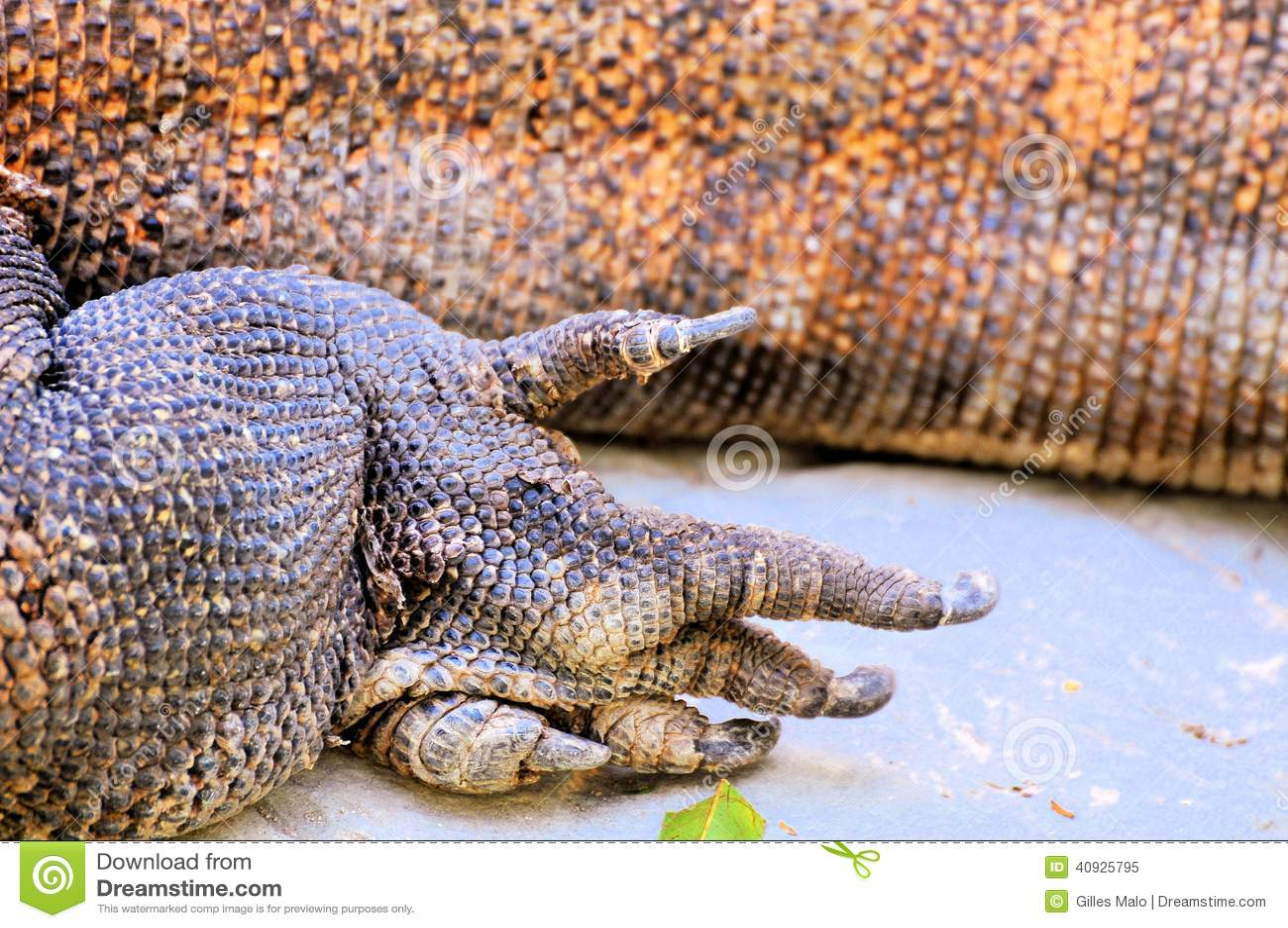 Foot of Komodo dragon ...