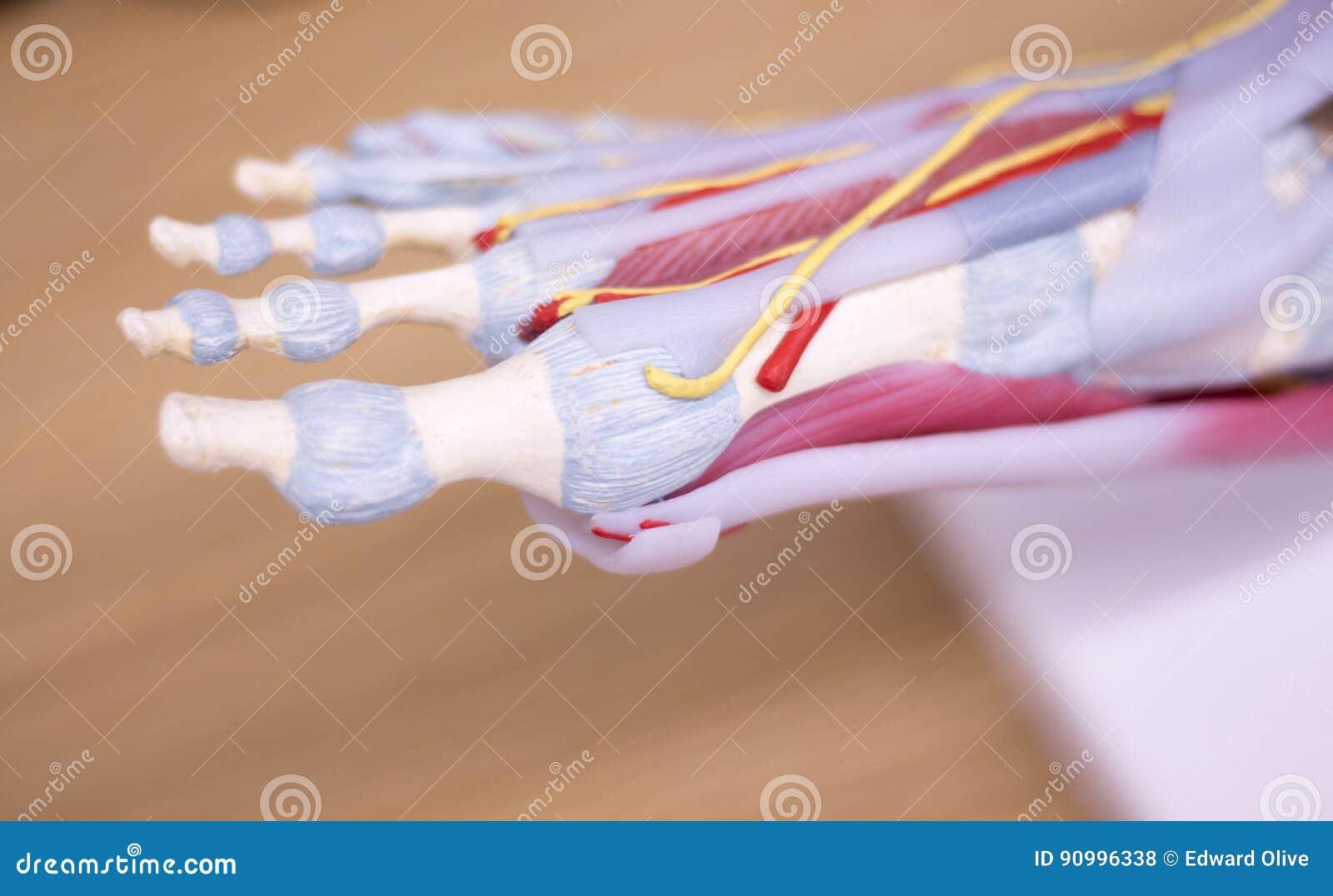 Foot medical anatomy model stock photo. Image of phalange - 90996338