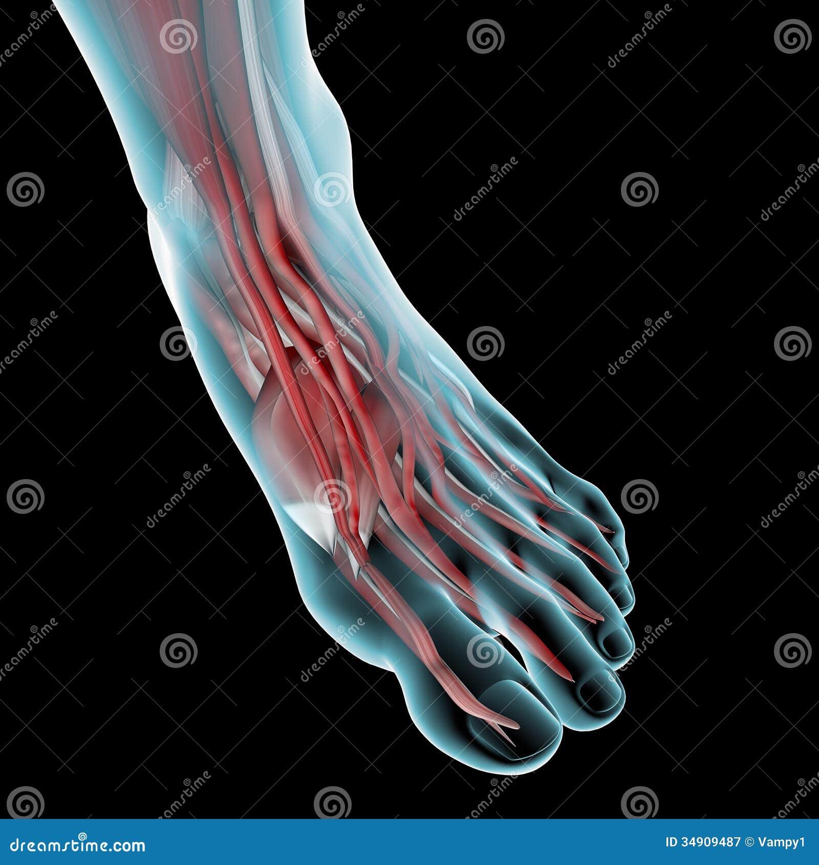 Foot Muscle Anatomy Illustration Stock Illustration Illustration