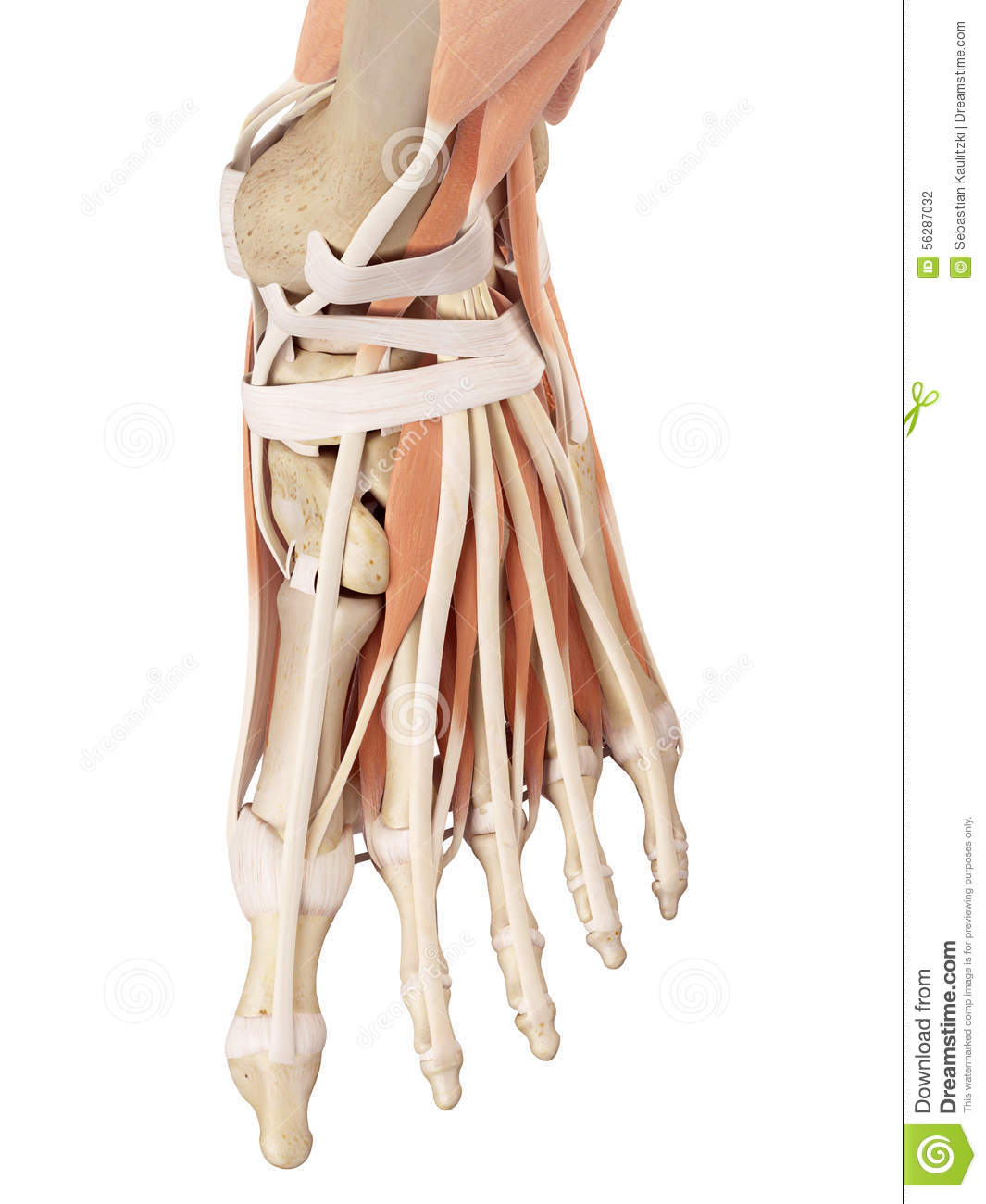The Foot Muscles Stock Illustration Illustration Of Ankle 56287032