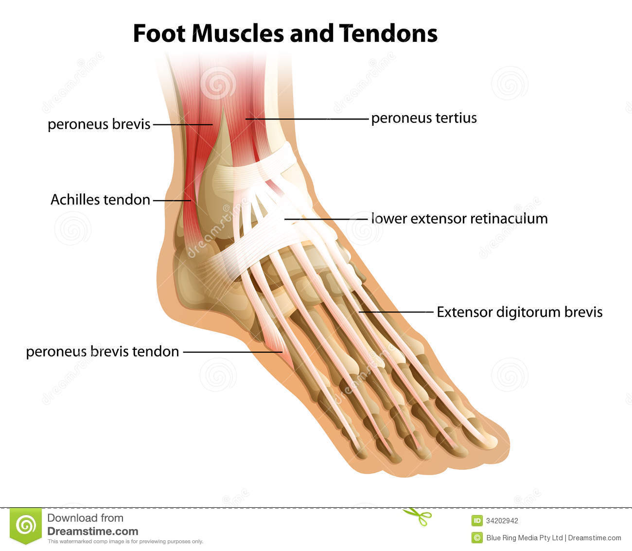 Foot Muscles and Tendons stock illustration. Illustration of tendon ...