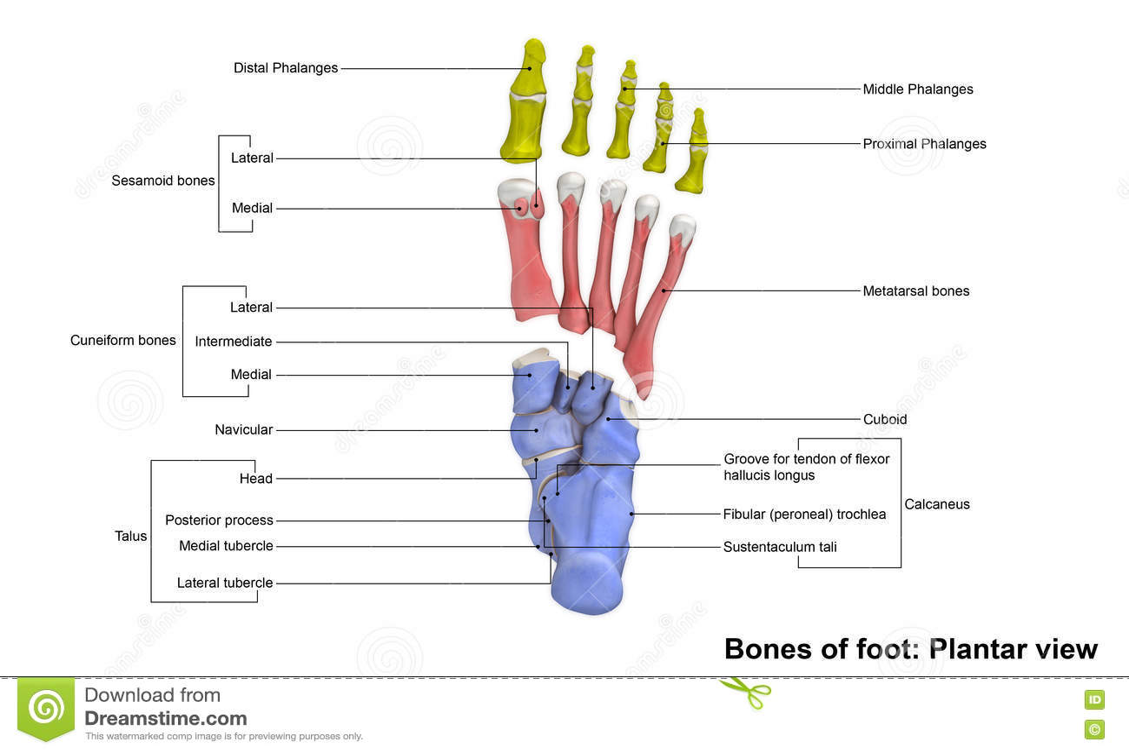 Foot Planter view stock image. Image of metatarsophalangeal - 76445101