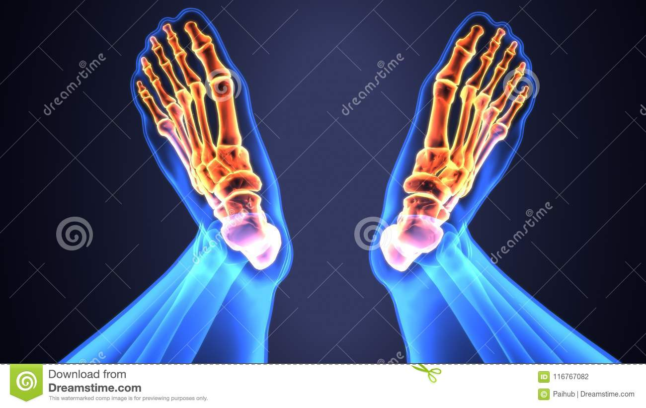 3d Illustration Of Skeleton Feet Bone Anatomy Stock Illustration ...