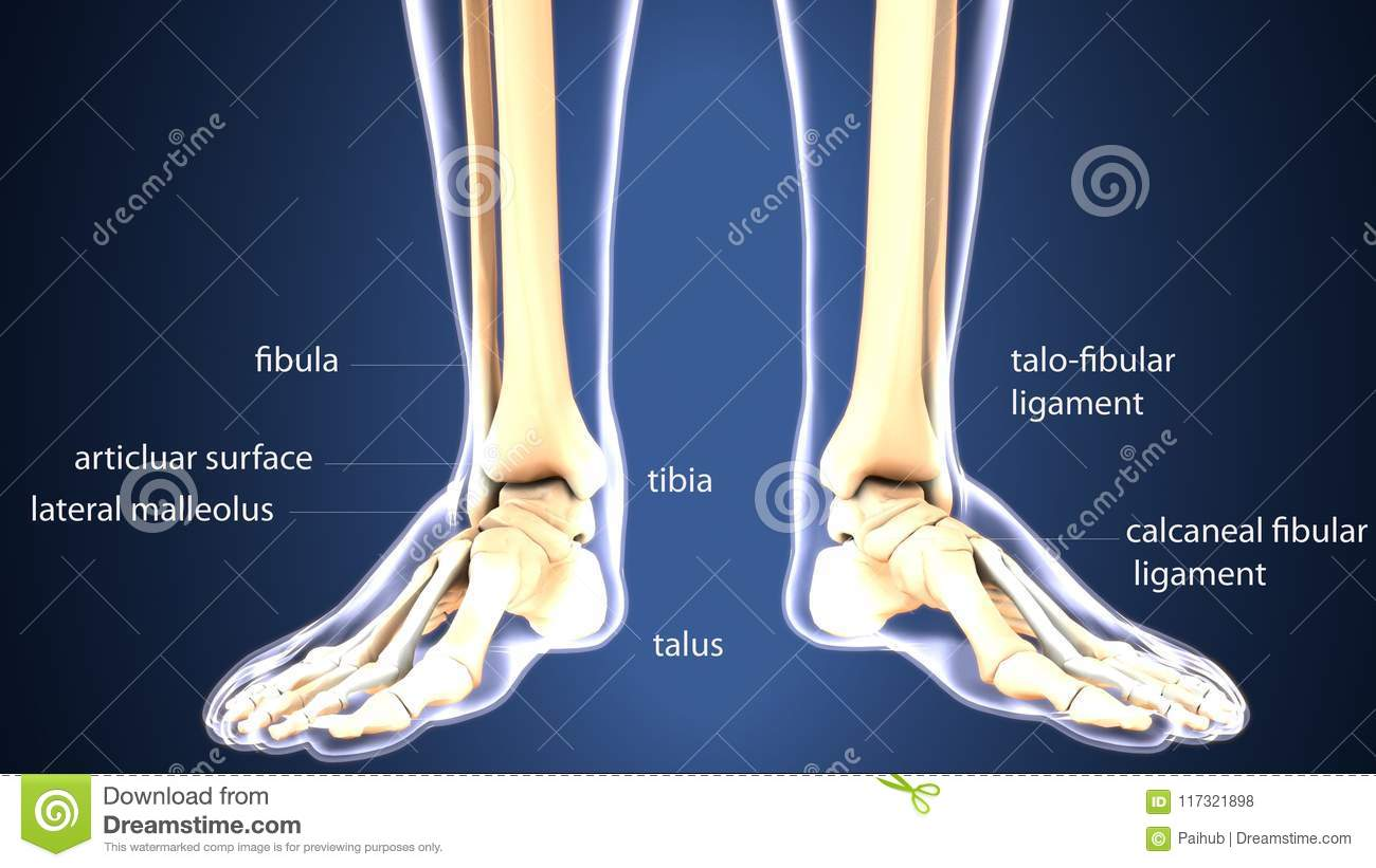 3d Illustration Of Skeleton Foot Bone Anatomy Stock Illustration