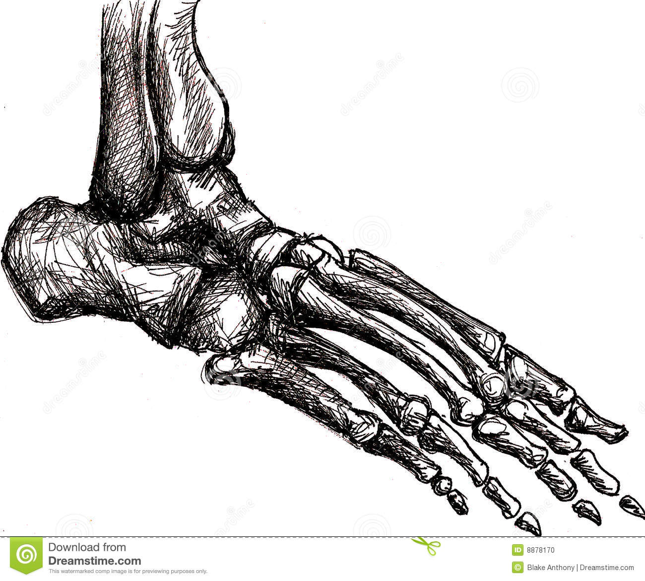 Foot skeleton anatomy stock illustration. Illustration of white ...