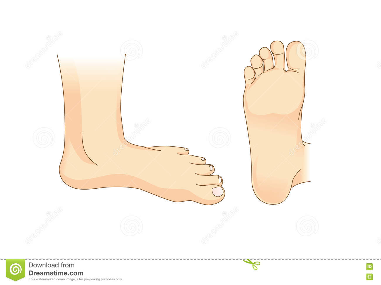 Tendons Of The Foot Vector Illustration