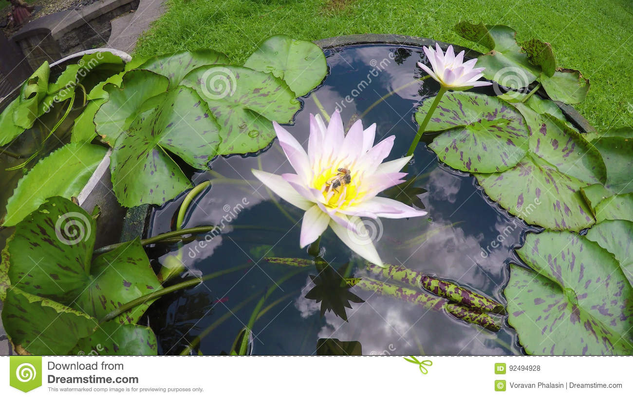 Footage time lapse opening of waterlily lotus flower is blooming footage time lapse opening of waterlily lotus flower is blooming stock footage video of green garden 92494928 mightylinksfo