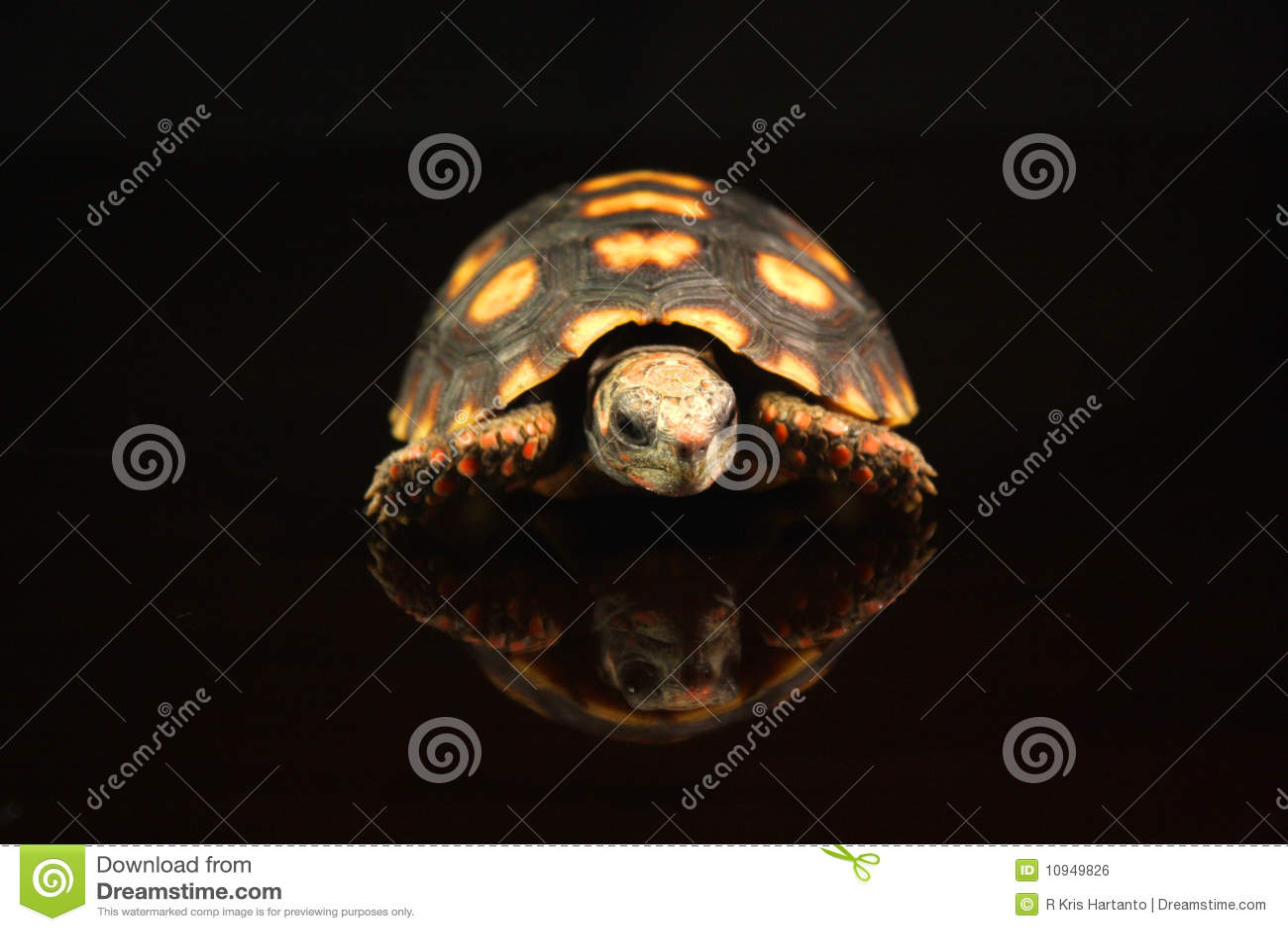 Footed красная черепаха