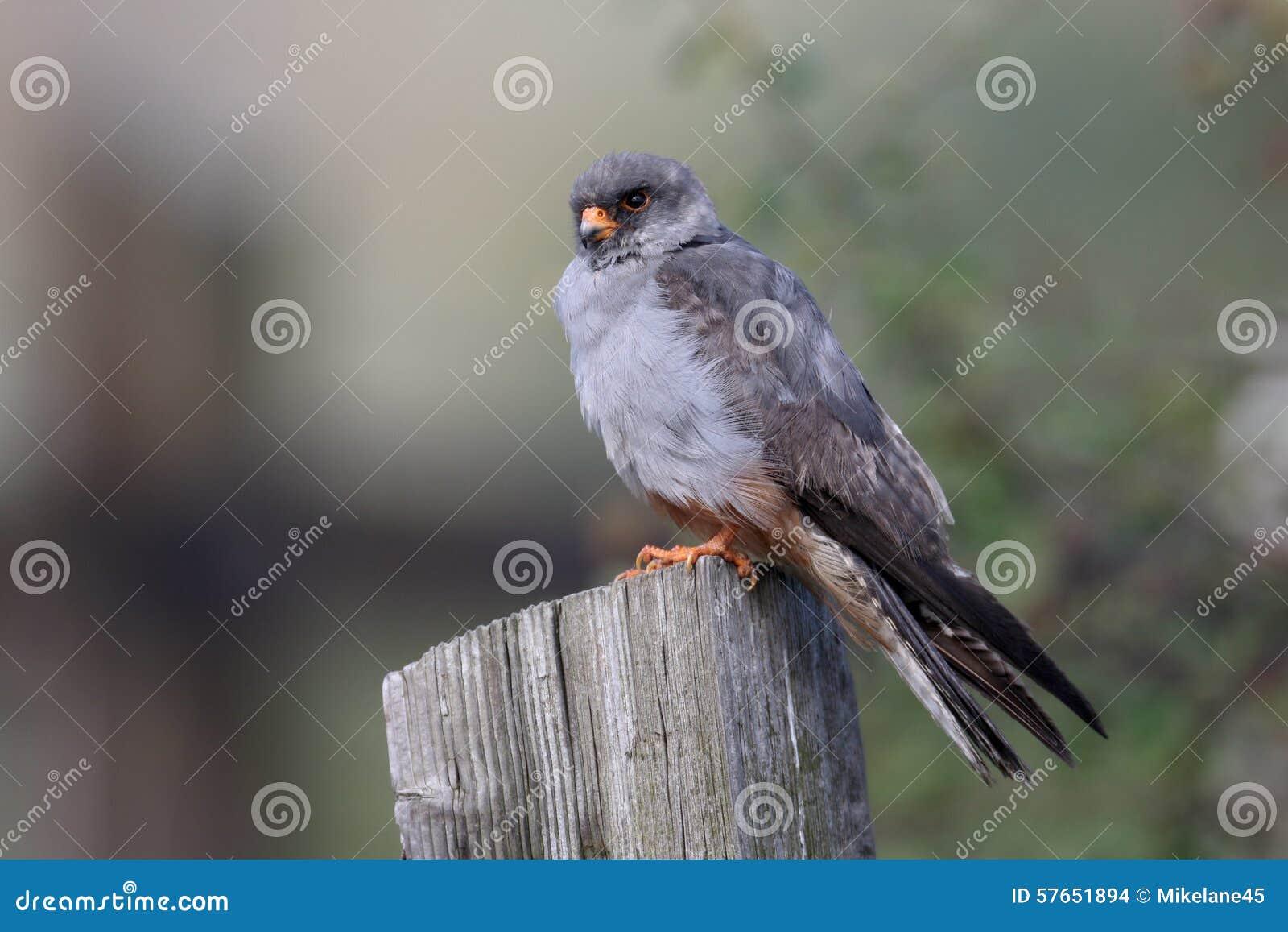 Footed jastrząbek, Falco vespertinus