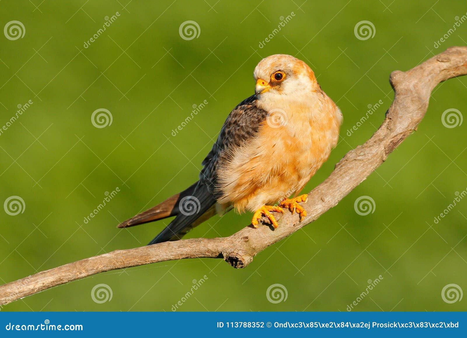 Footed jastrząbek, Falco vespertinus, ptasi obsiadanie na gałąź z jasnym zielonym tłem, cleaning upierzenie, piórko w rachunku, a