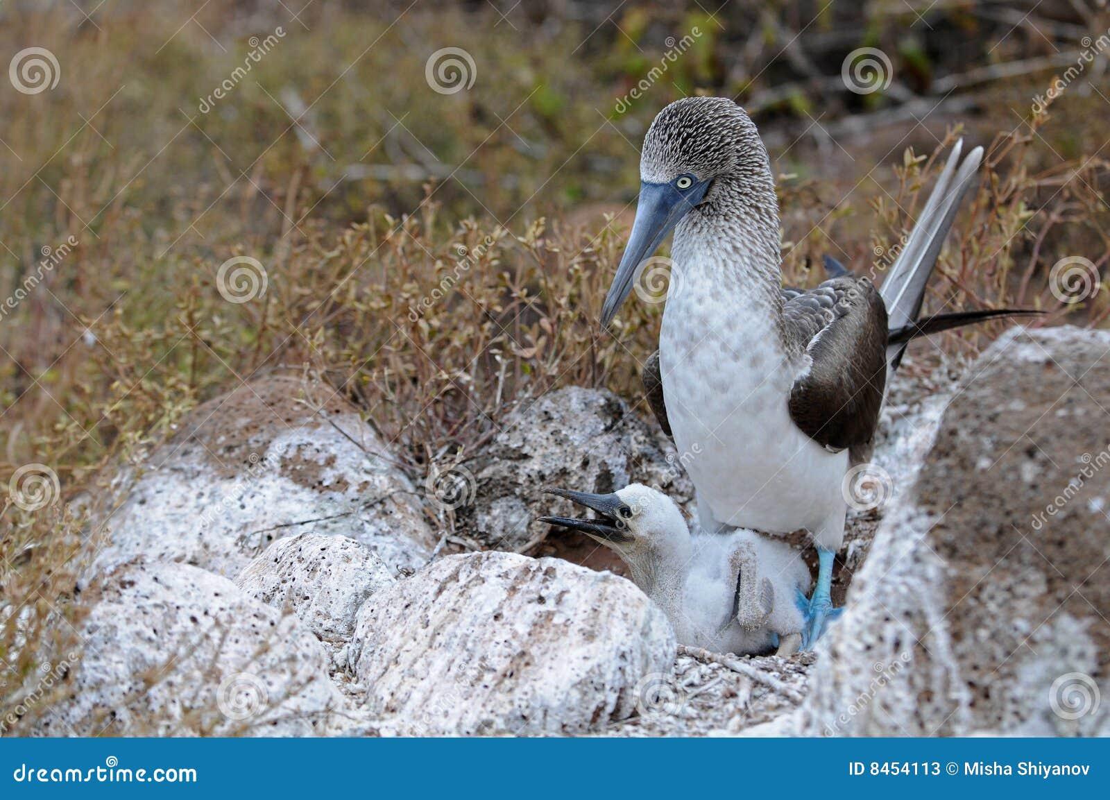 Footed rede för blå booby