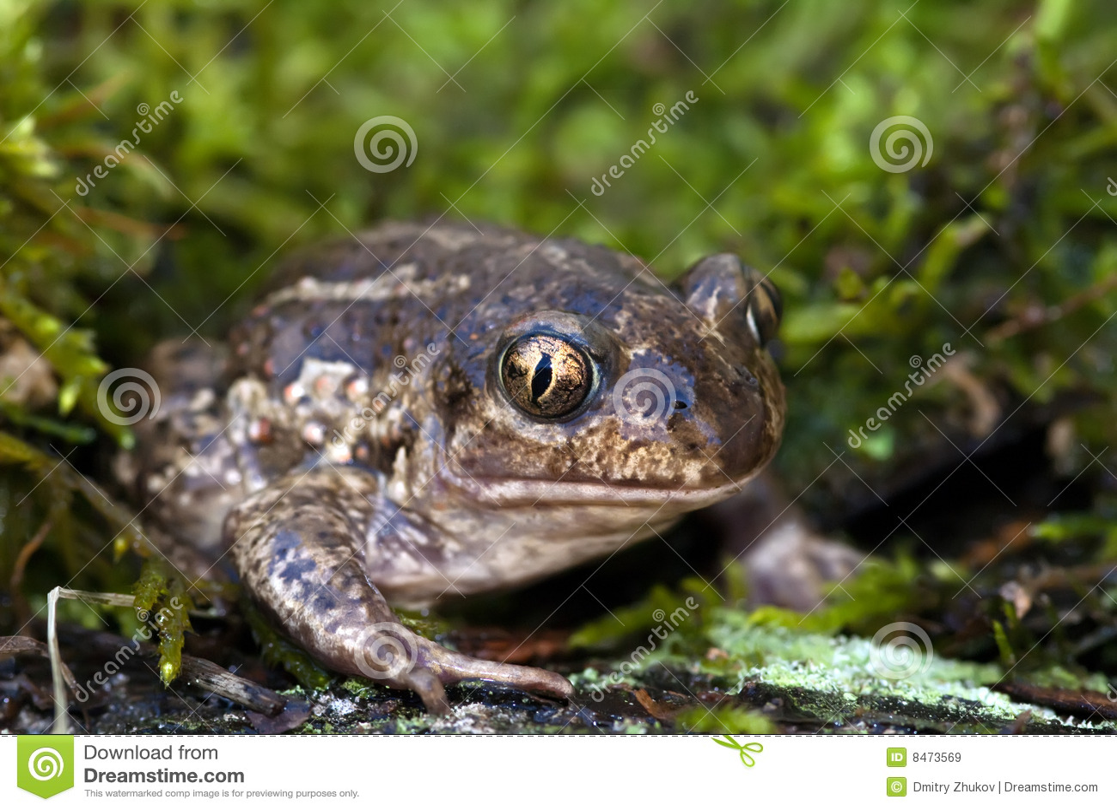 Footed spadepadda