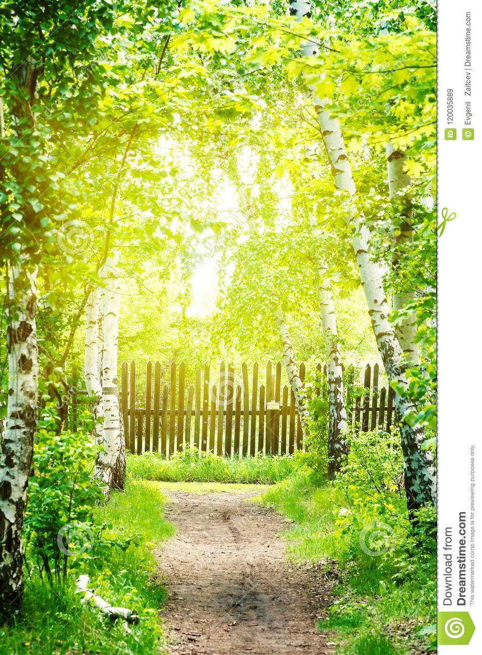 Footpath Goes Through Birch Grove. Wooden Fence. Sunlight. Summer