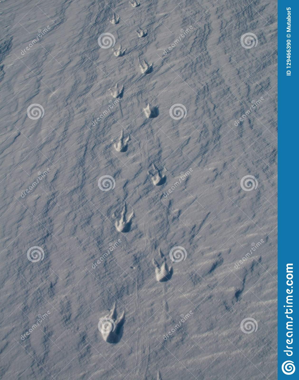 Footprints covered with snow, the Imperial penguin. Snowy landscape