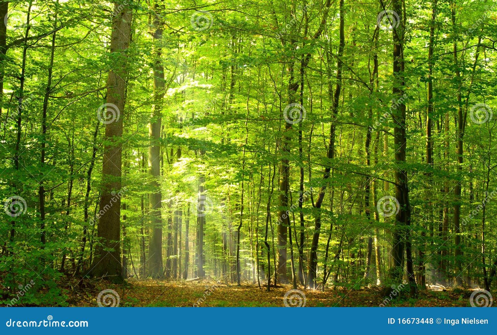 Forêt à feuilles caduques en été