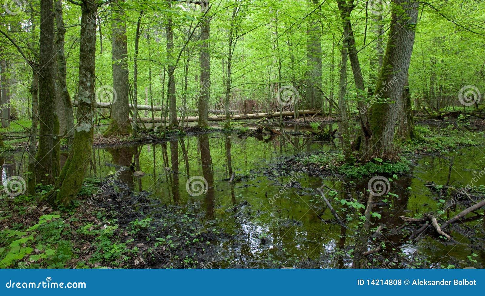 Forêt à feuilles caduques humide de source avec de l eau debout
