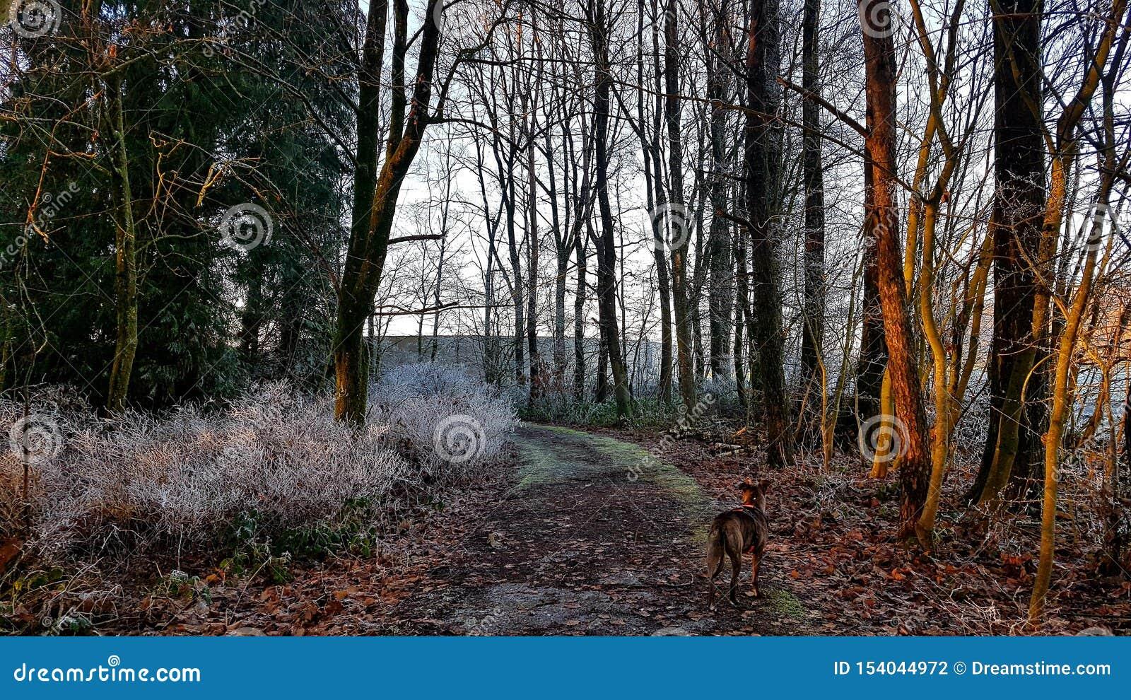 Forêt congelée à l hiver du Luxembourg avec le chien
