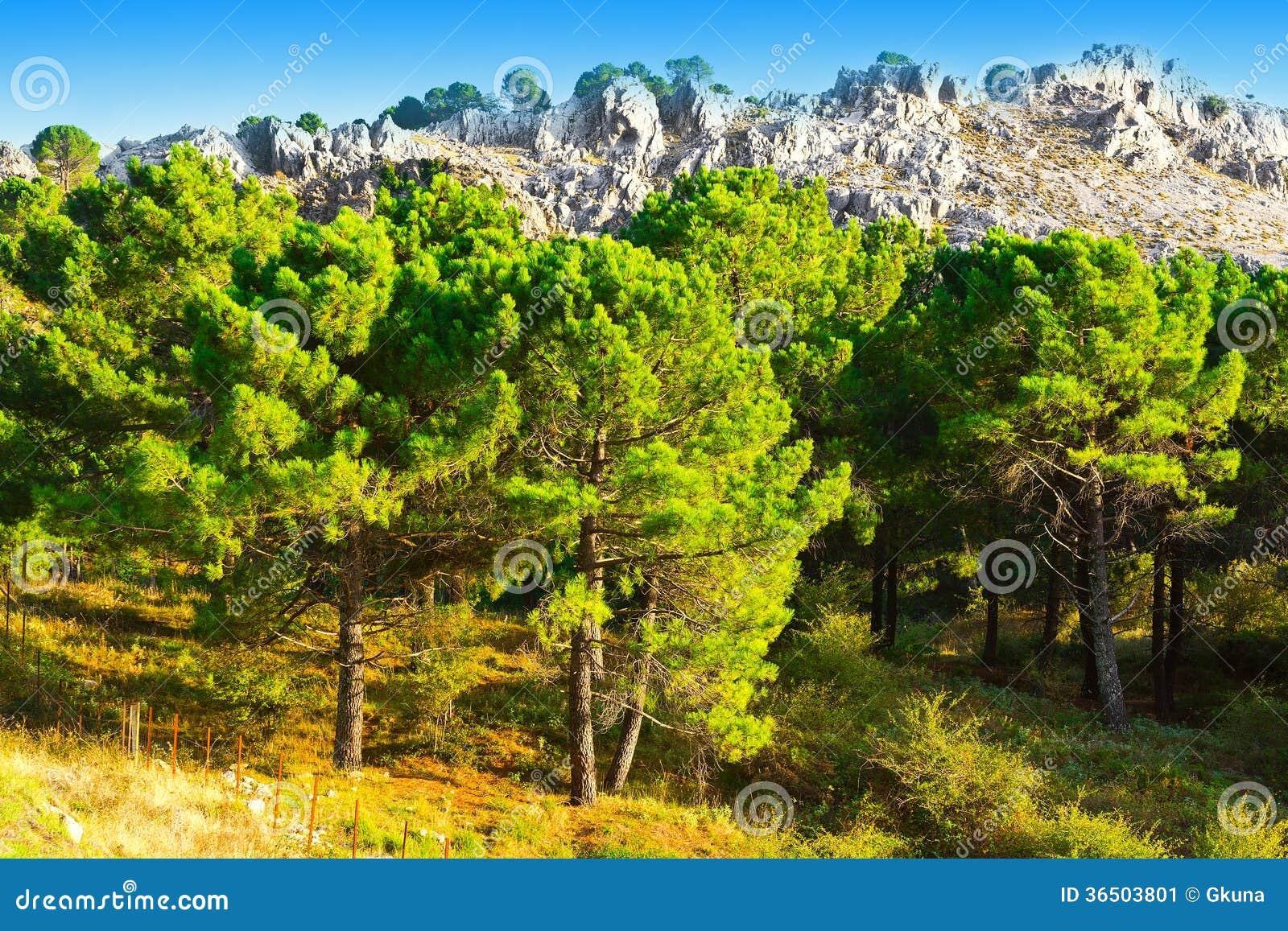 Forêt conifére