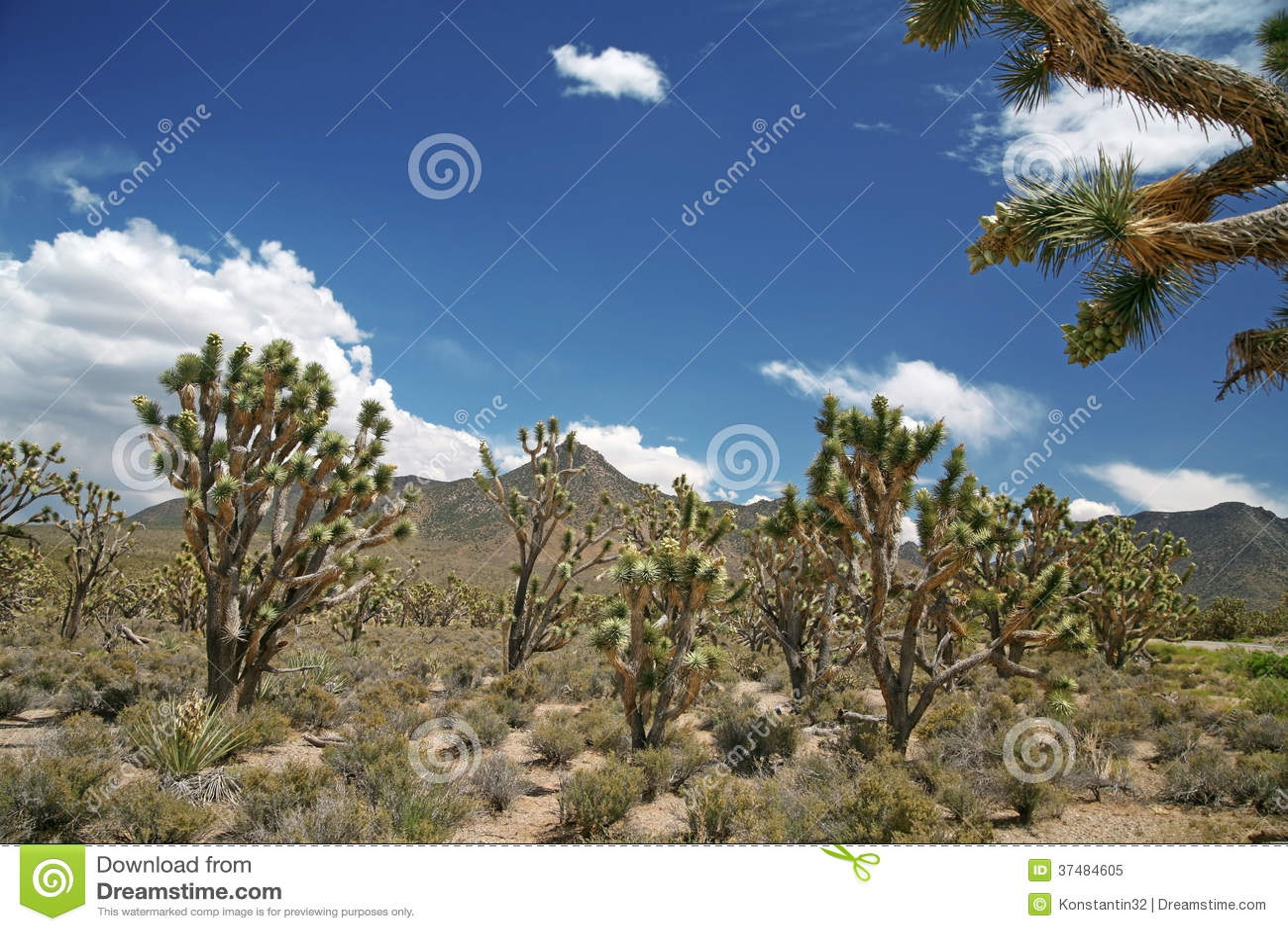 Forêt d arbre de Joshua, Arizona, Etats-Unis