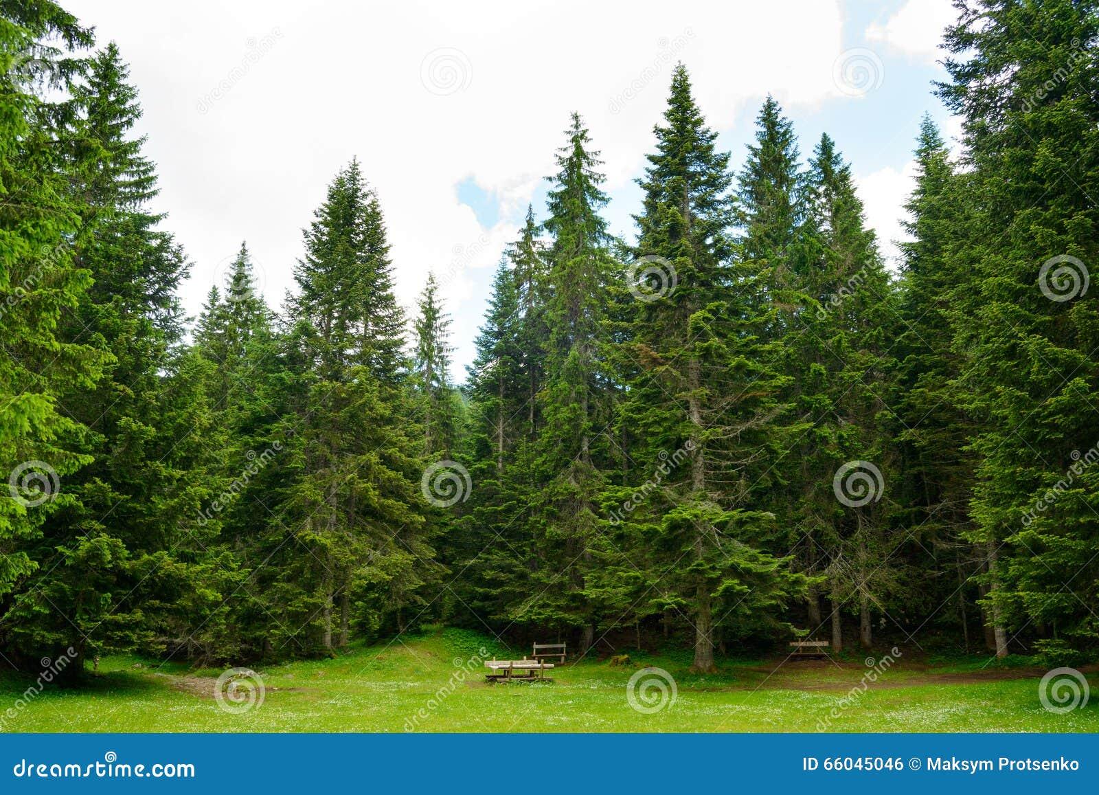 for t d 39 arbre de sapin en parc national durmitor de mont n gro photo stock image 66045046. Black Bedroom Furniture Sets. Home Design Ideas