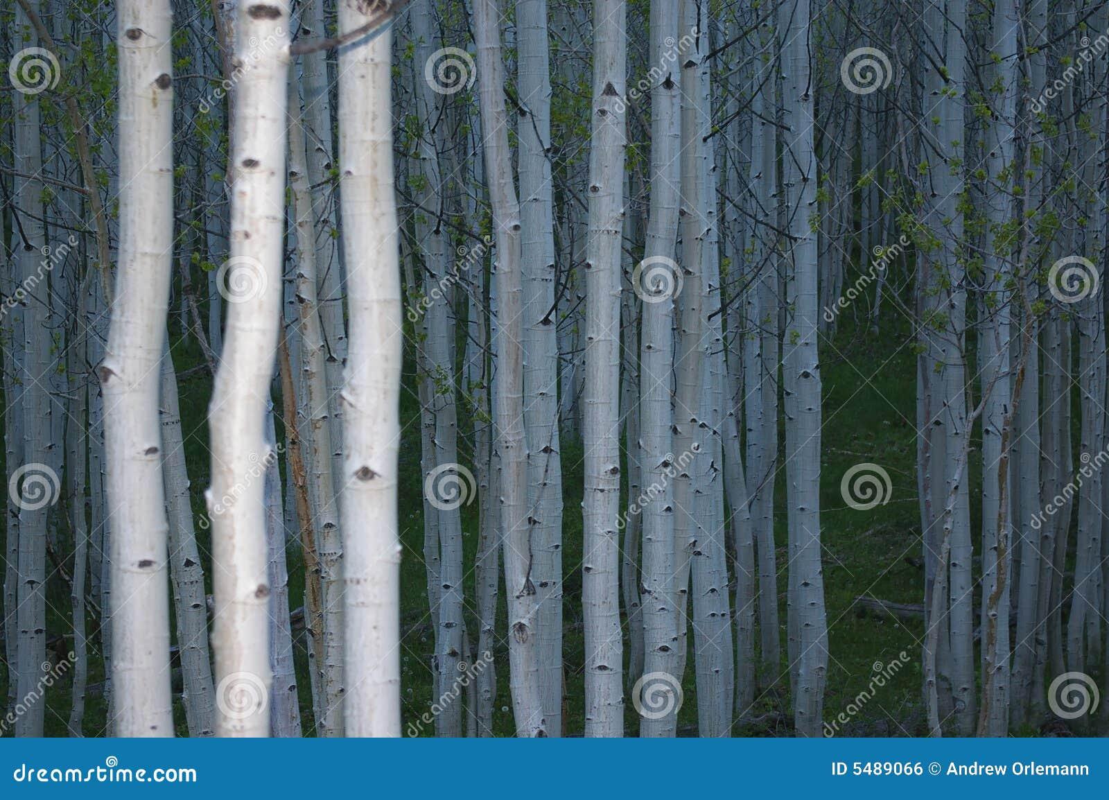 Forêt d Aspen