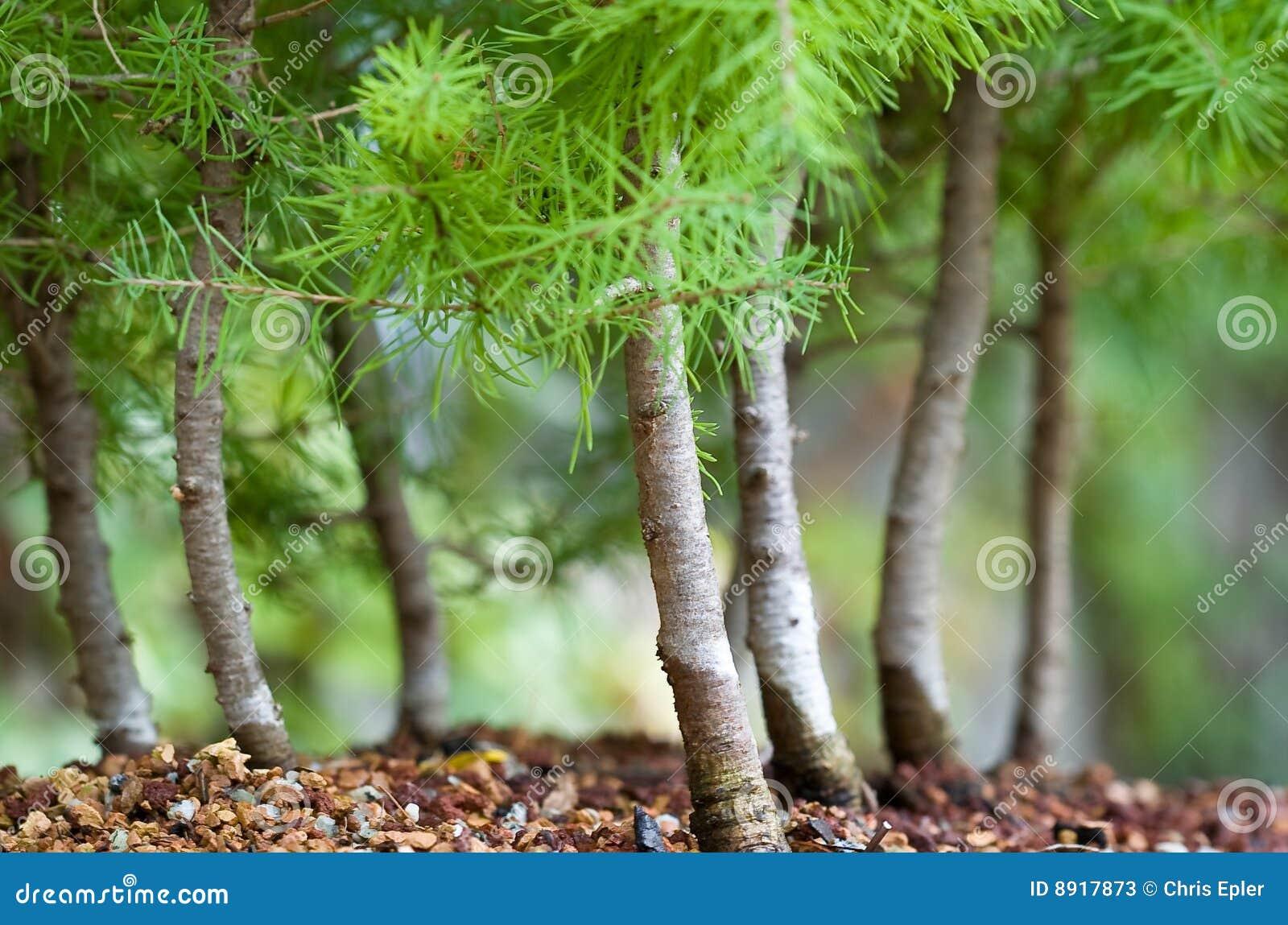Forêt de bonzaies