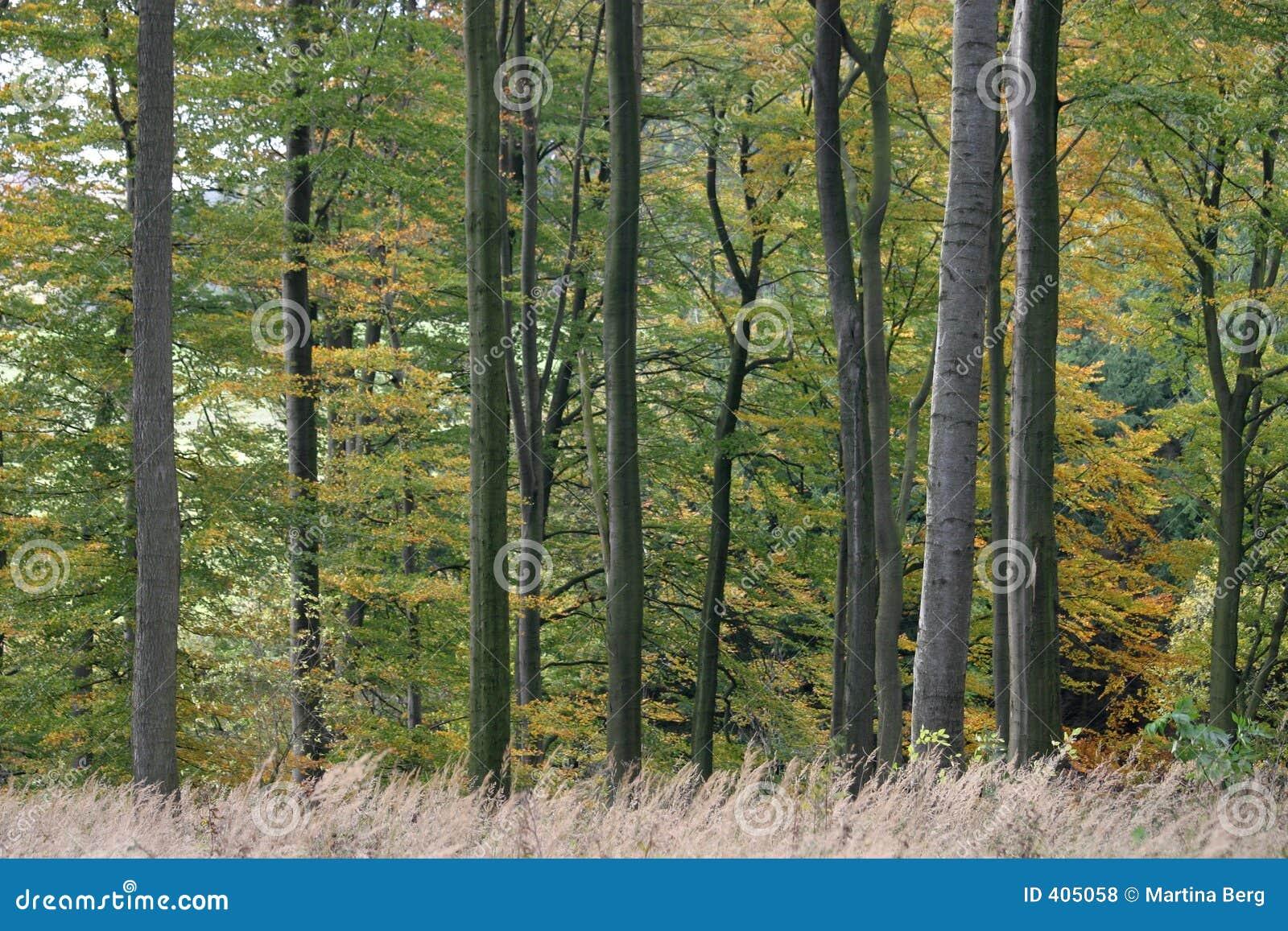 Forêt de hêtre