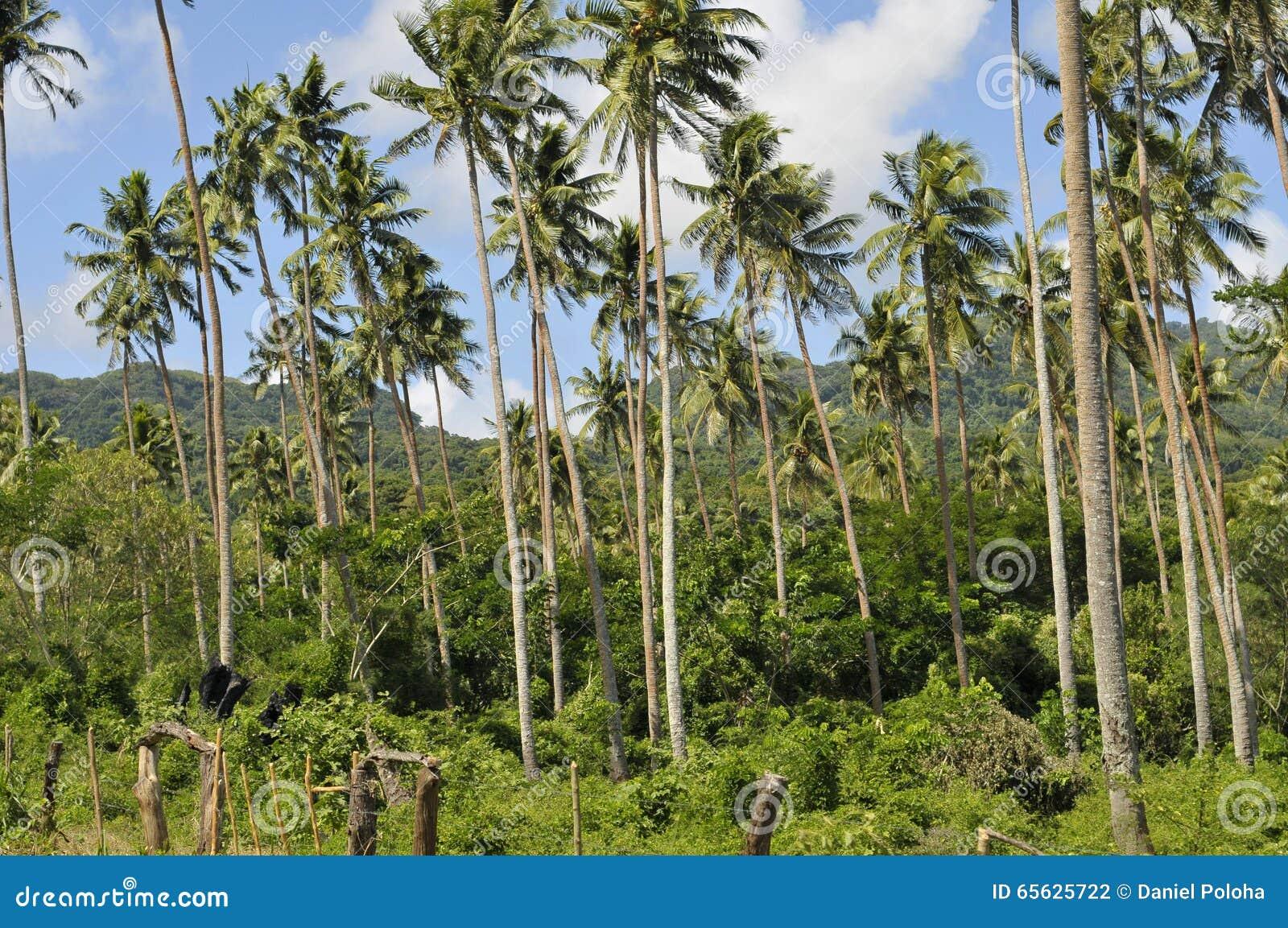 Forêt de noix de coco