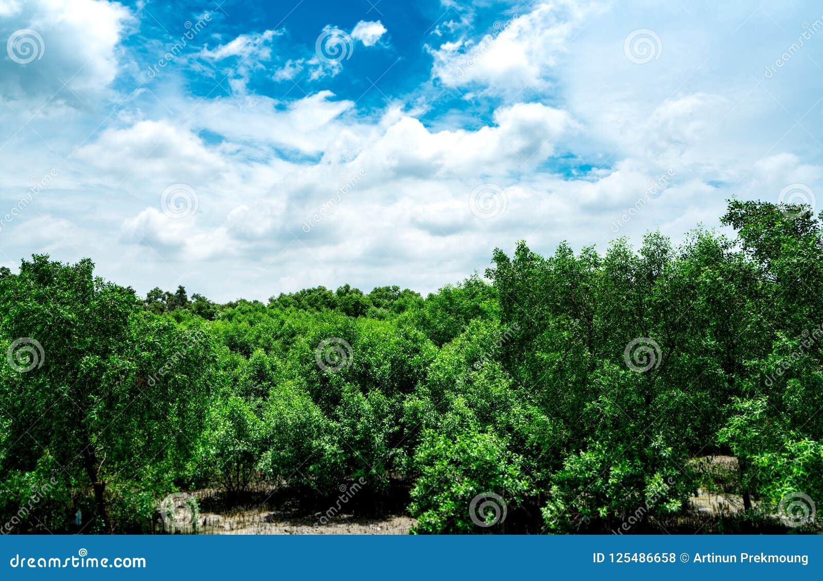 Forêt de palétuvier et beaux ciel bleu et cumulus Aménagez la forêt en parc verte d arbre avec le ciel bleu et les nuages blancs