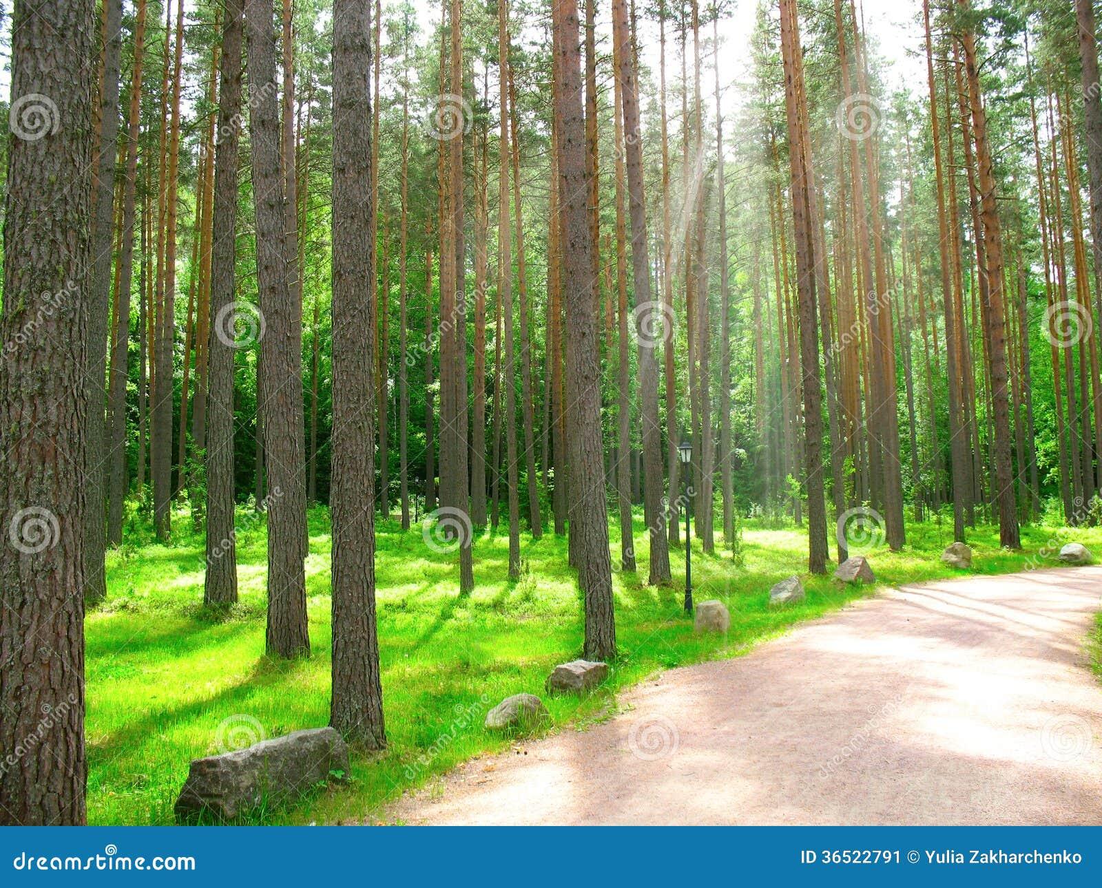 Forêt de pin d été avec la lumière du soleil