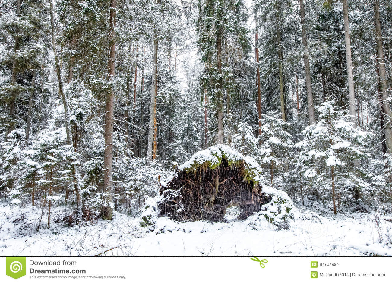 Forêt de pin dans un jour d hiver