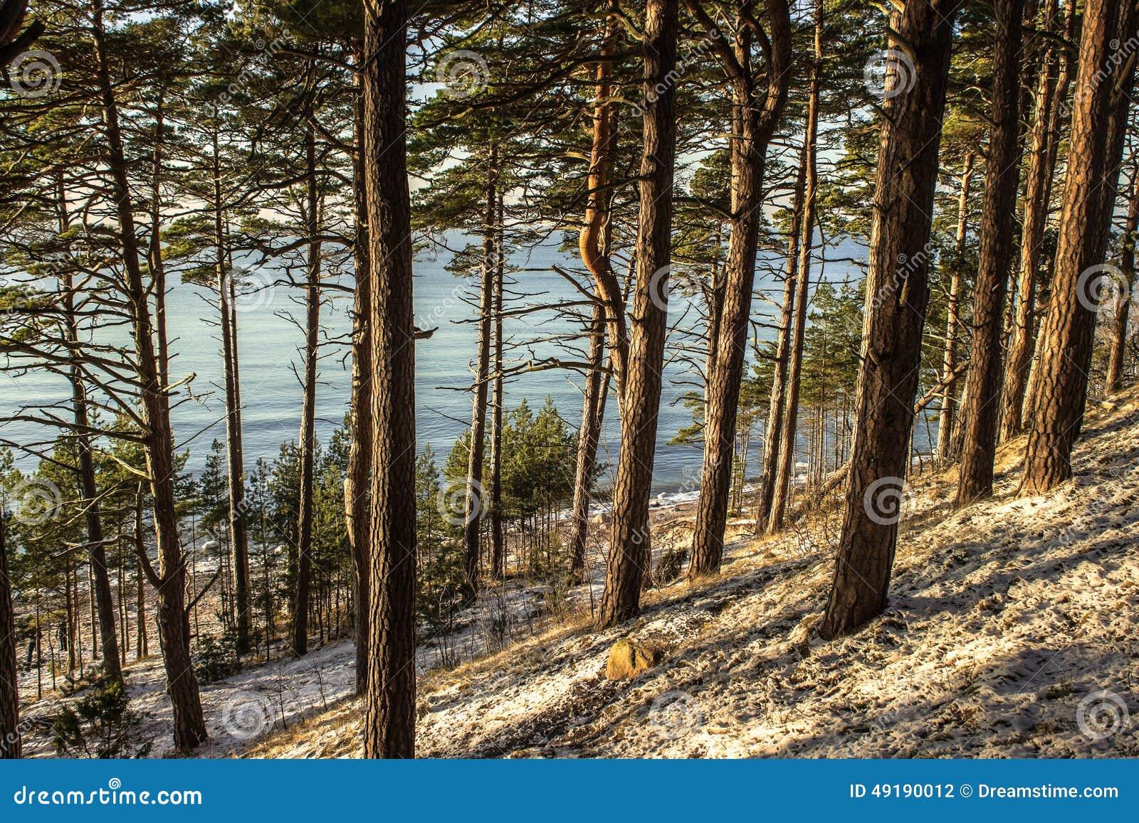 Forêt de pin de plage en hiver
