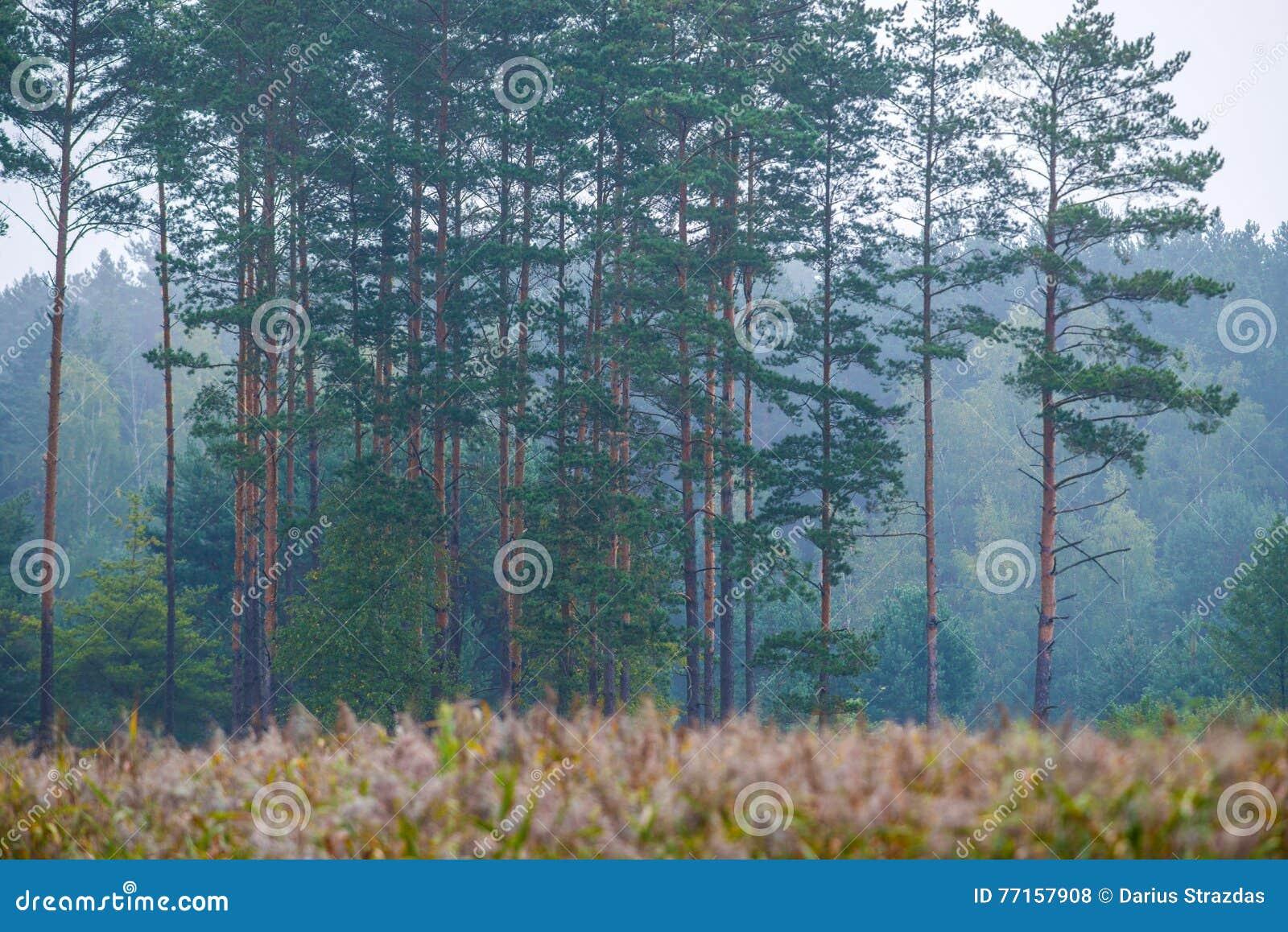 Forêt de pin près de lac