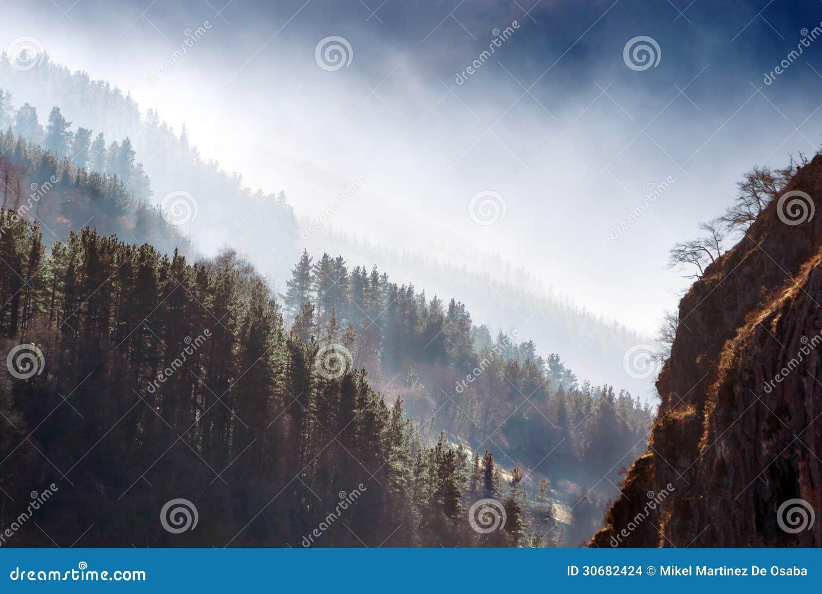 Forêt de pins avec le brouillard