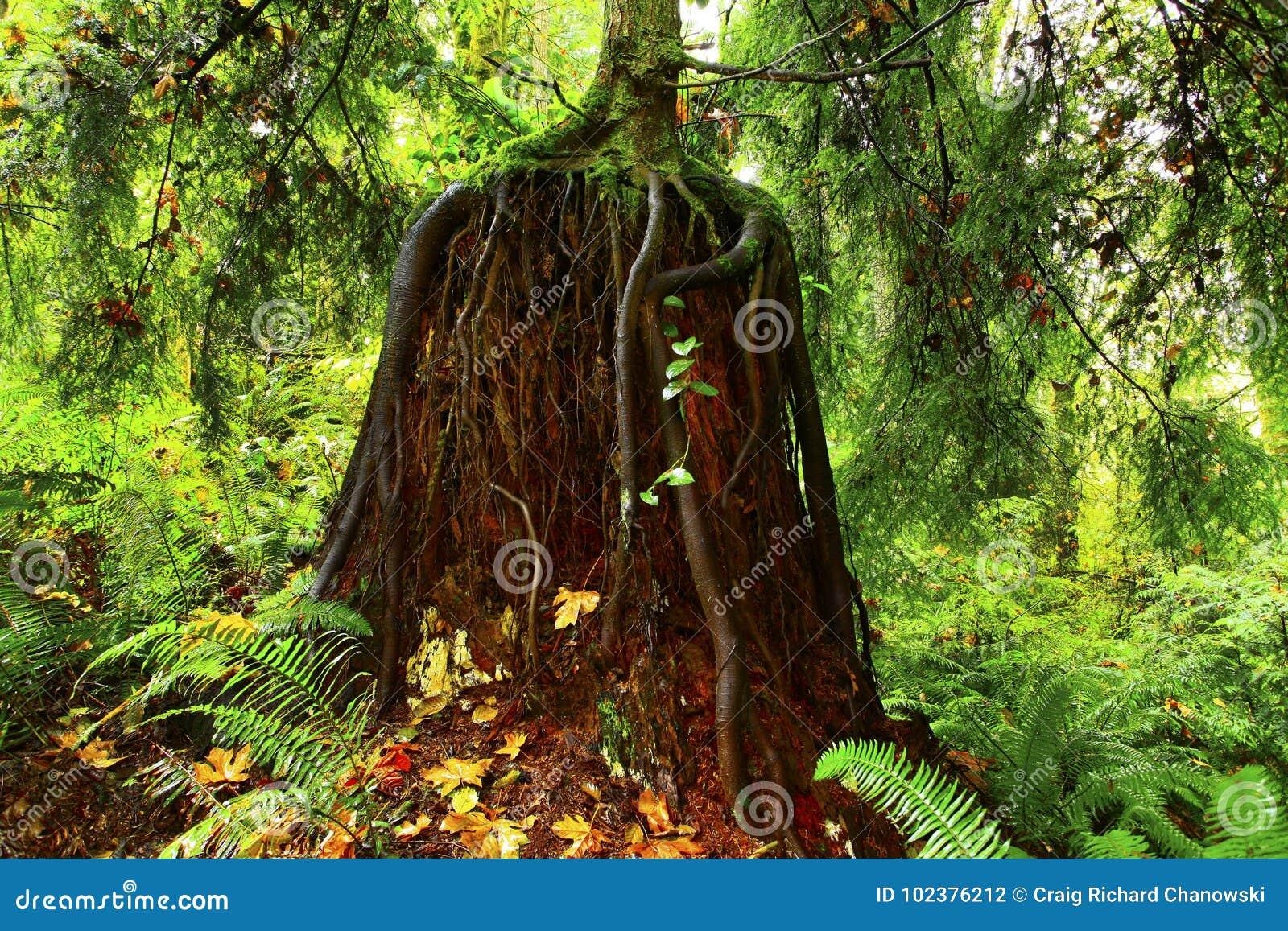 Forêt du nord-ouest Pacifique avec un arbre de conifère de deuxième croissance