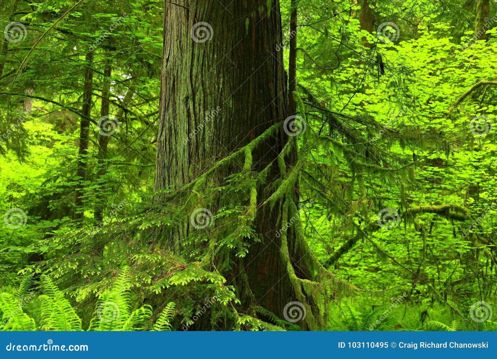 Forêt du nord-ouest Pacifique et cèdre rouge occidental