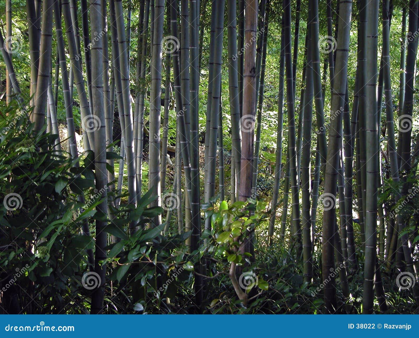 Forêt en bambou