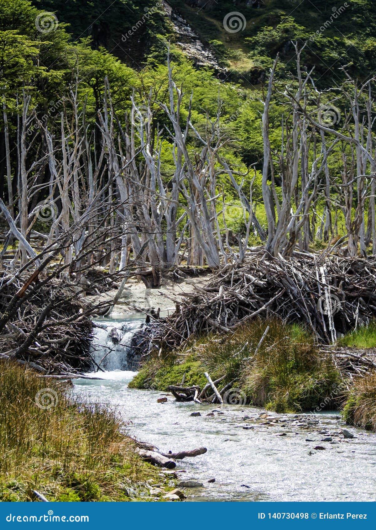 Forêt morte provoquée par des castors en Tierra del Fuego, Argentine