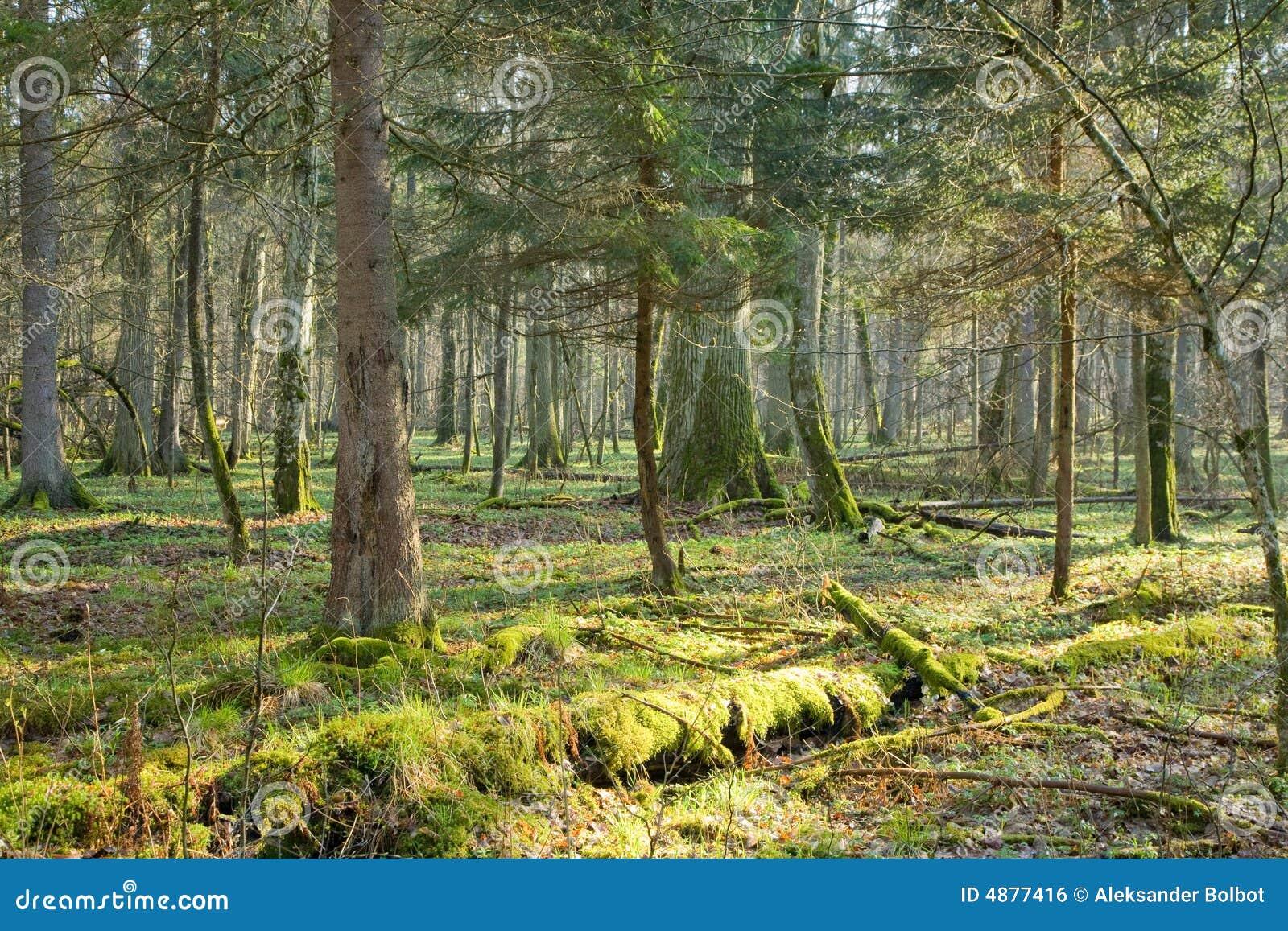 Forêt normale avec le mensonge mort de joncteur réseau d arbre