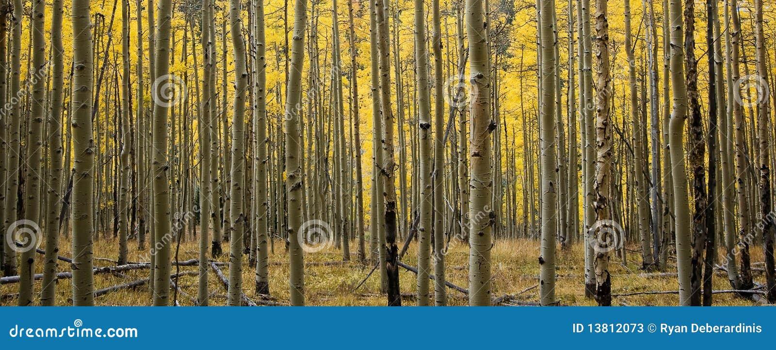 Forêt panoramique du Colorado Aspen dans l automne