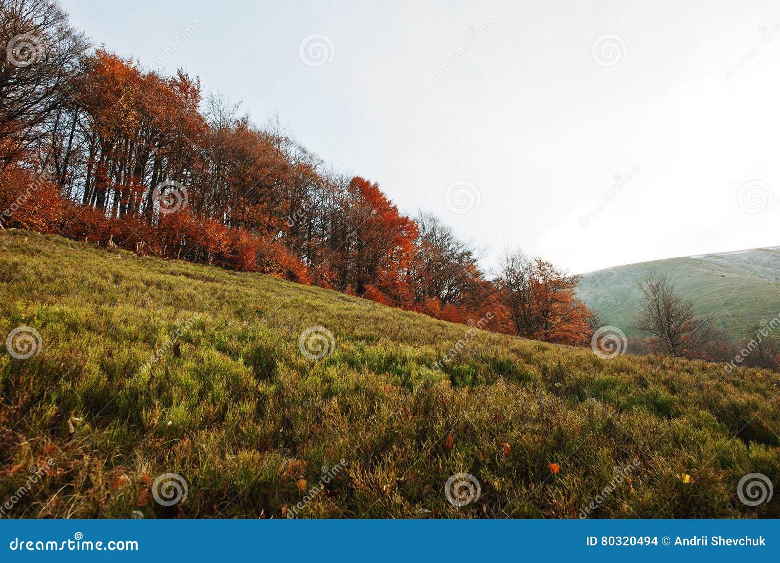Forêt rouge d automne sur le bois de montagne à carpathien