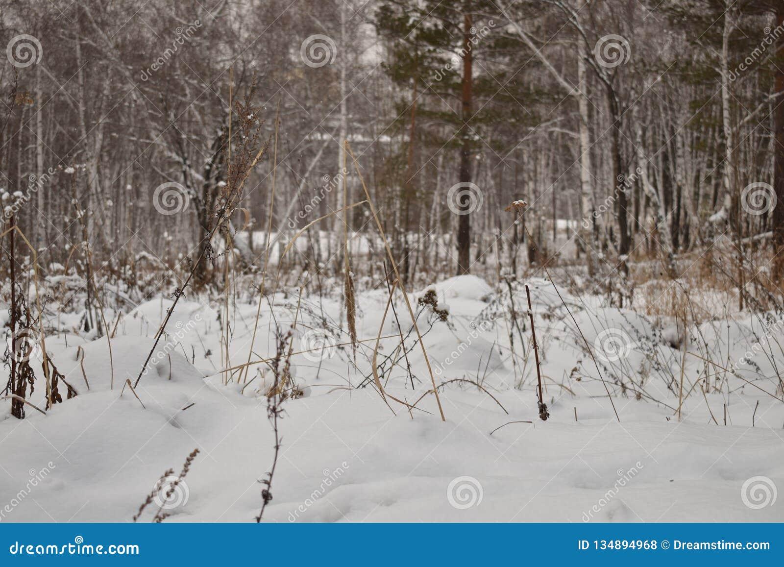 Forêt sibérienne dans le froid