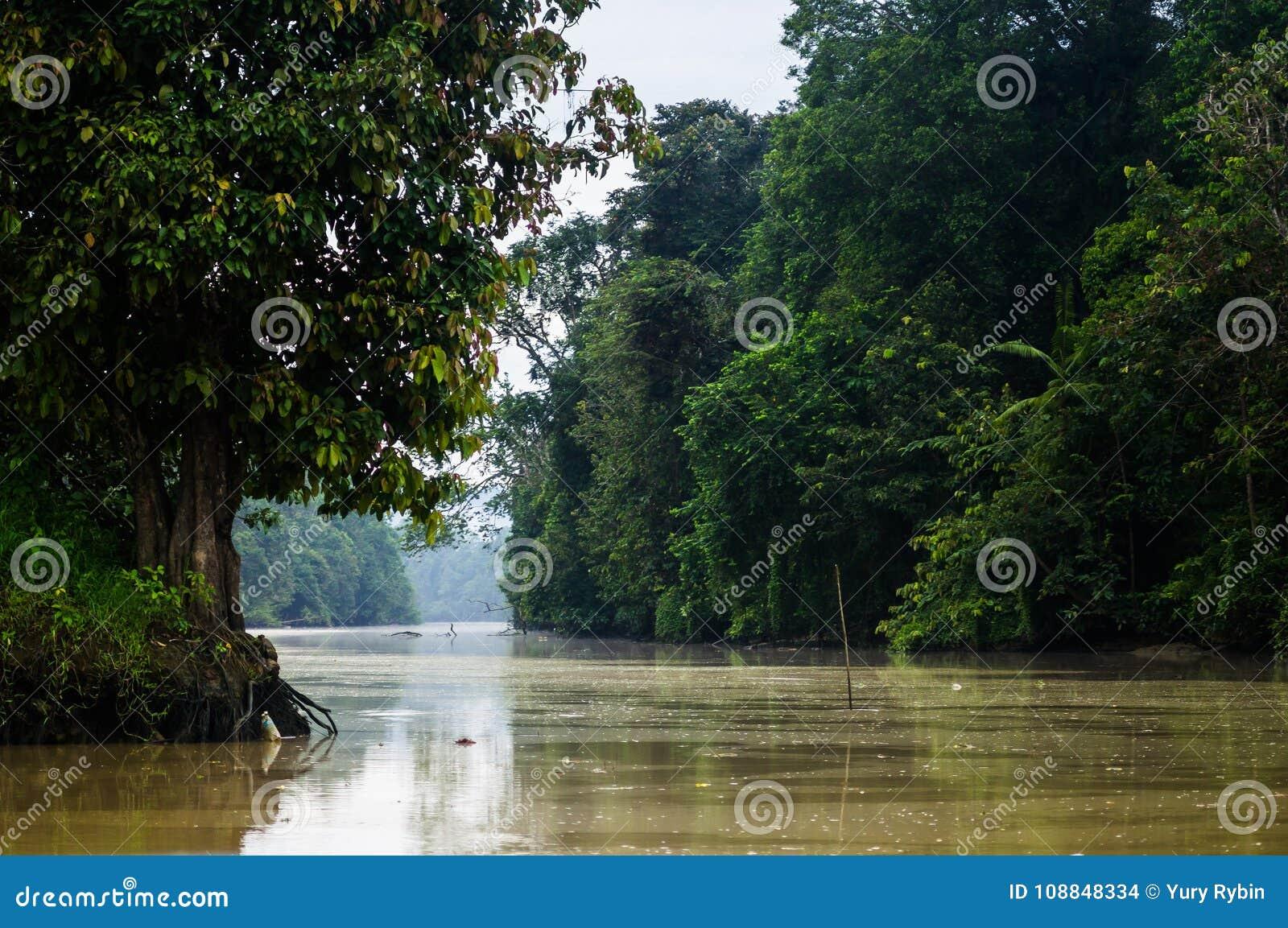 Forêt tropicale le long de la rivière kinabatangan, Sabah, Bornéo malaysia
