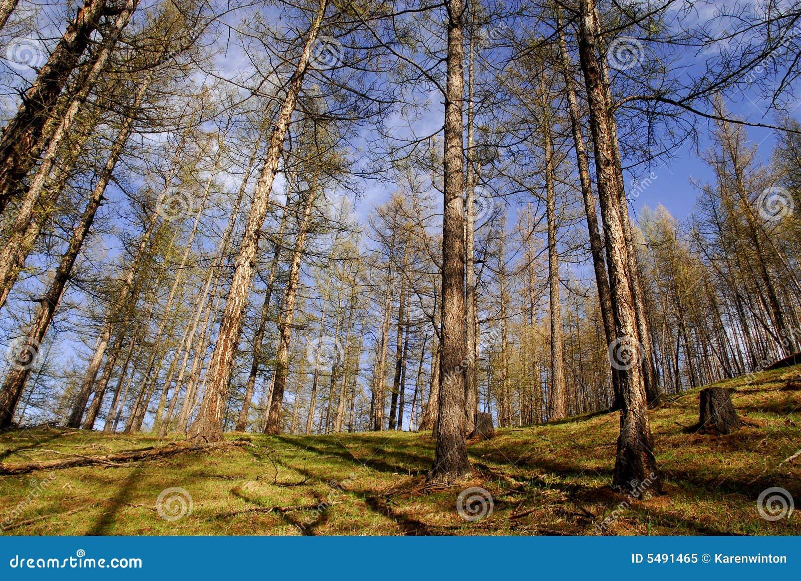Forêts de temps de source, Mongolie