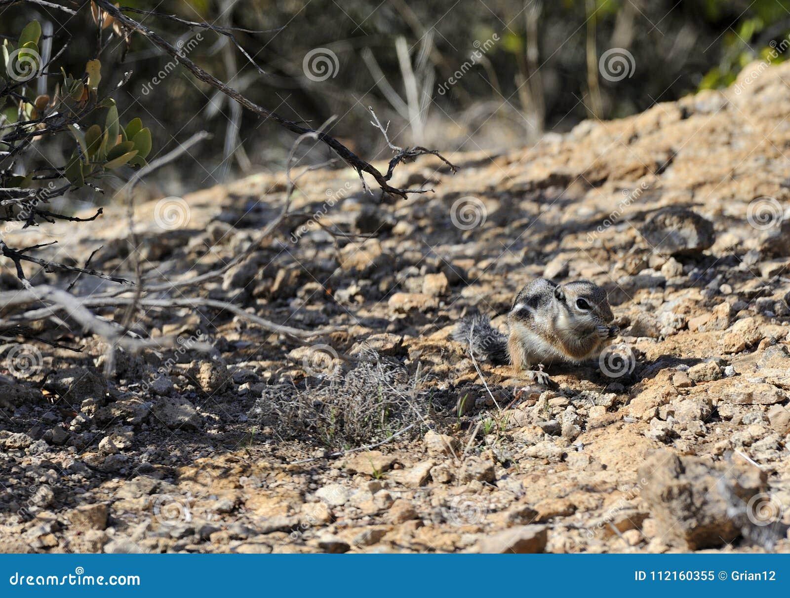 Foraggiamento dello scoiattolo di antilope nel deserto