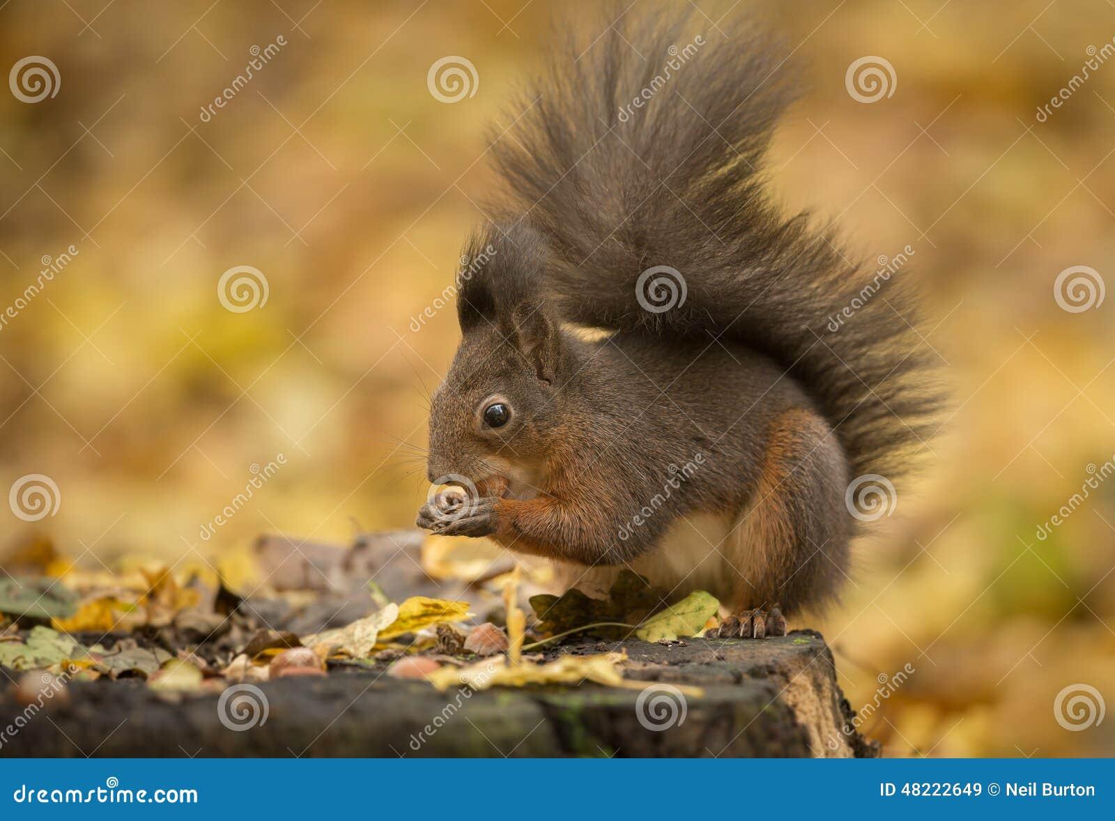 Foraggiamento dello scoiattolo rosso in foglie di autunno