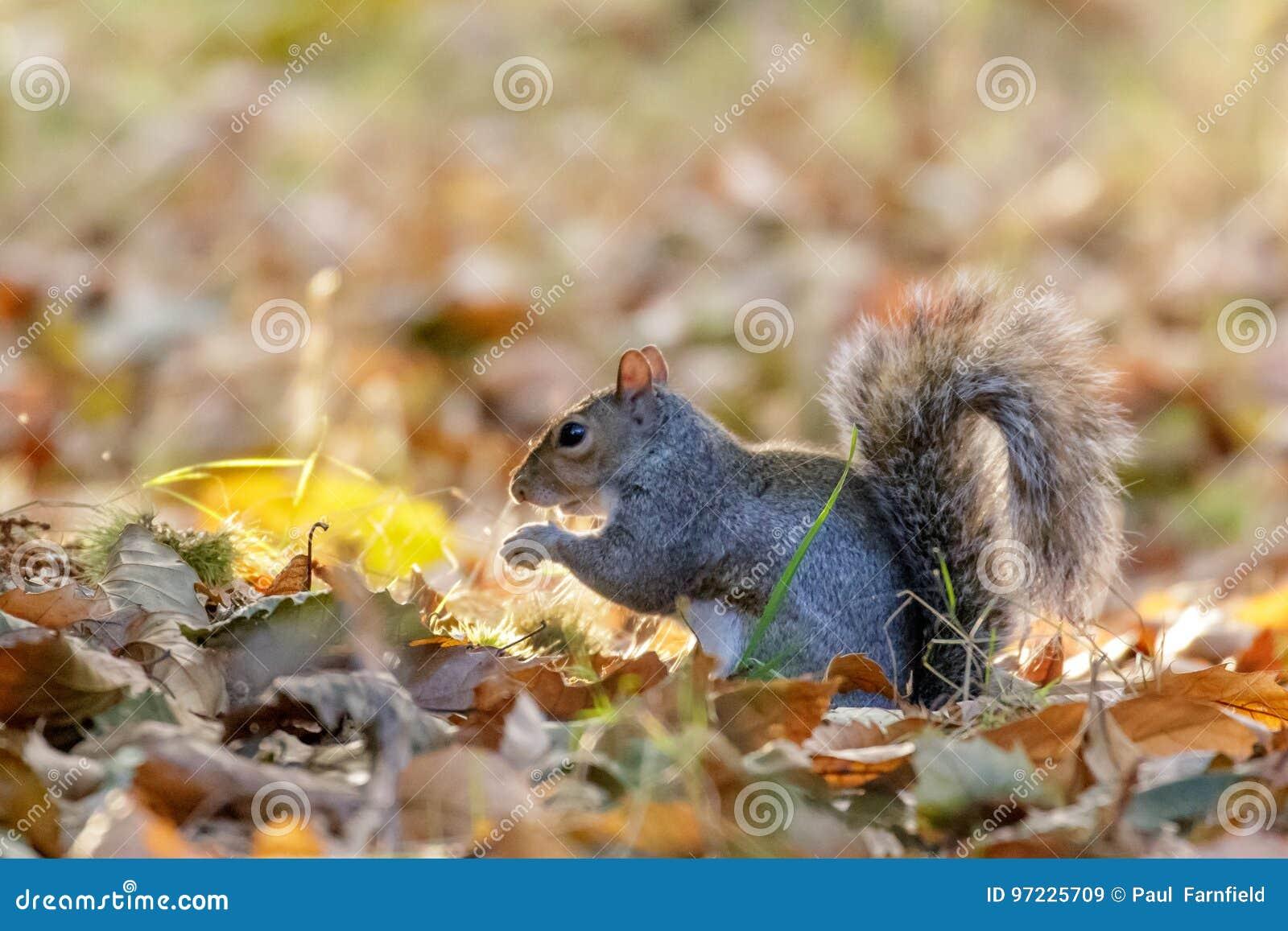 Foraggiamento di carolinensis di Gray Squirrel Sciurus o di Grey