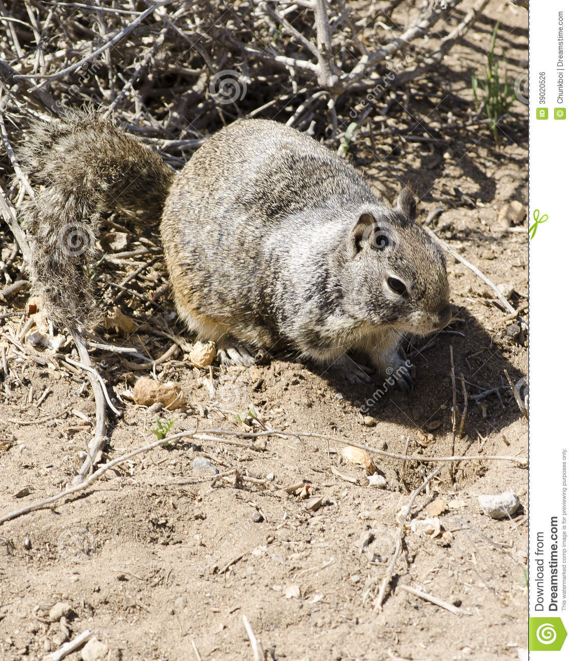Foraging Ground Squirrel