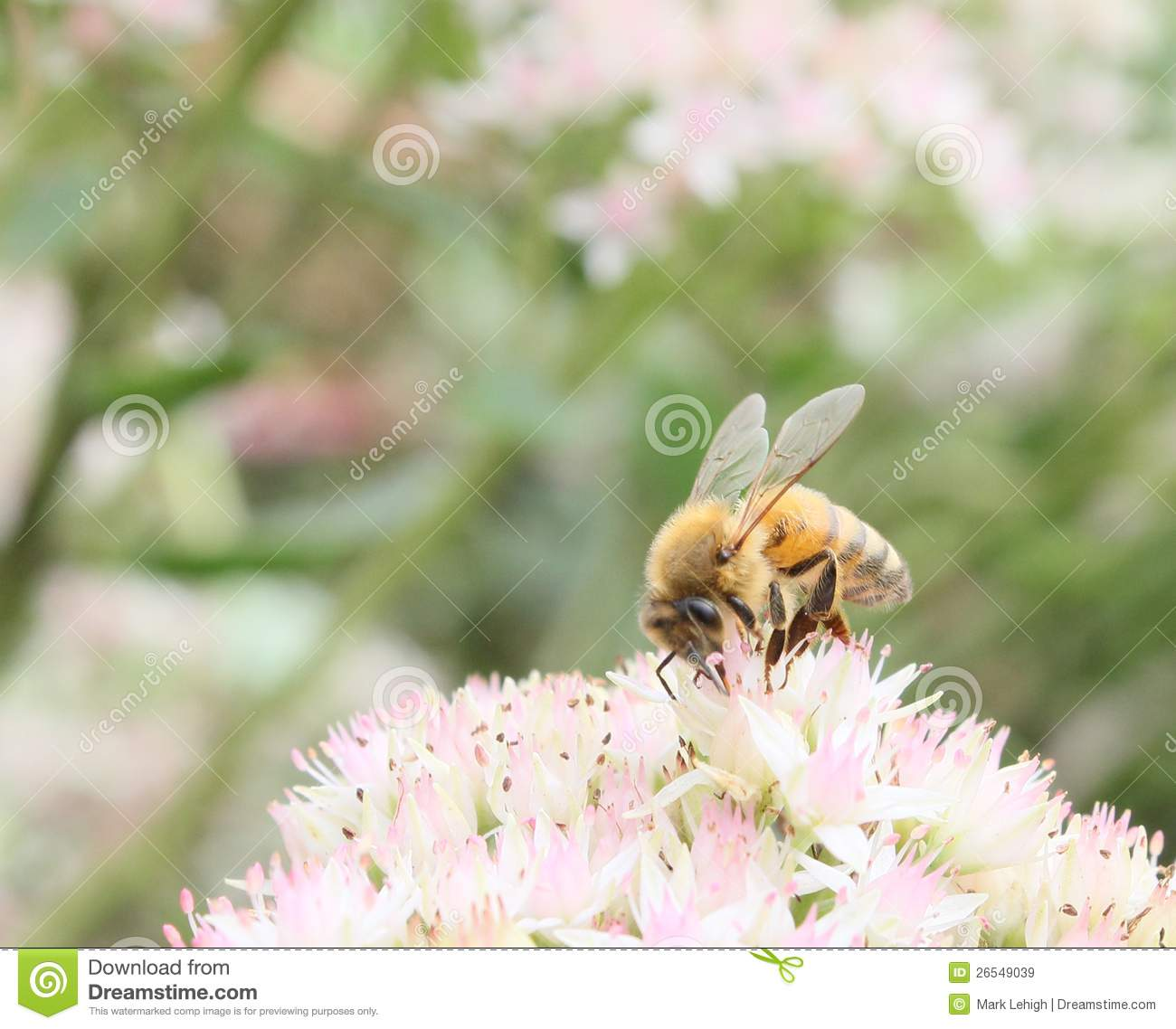 Foraging honeybee