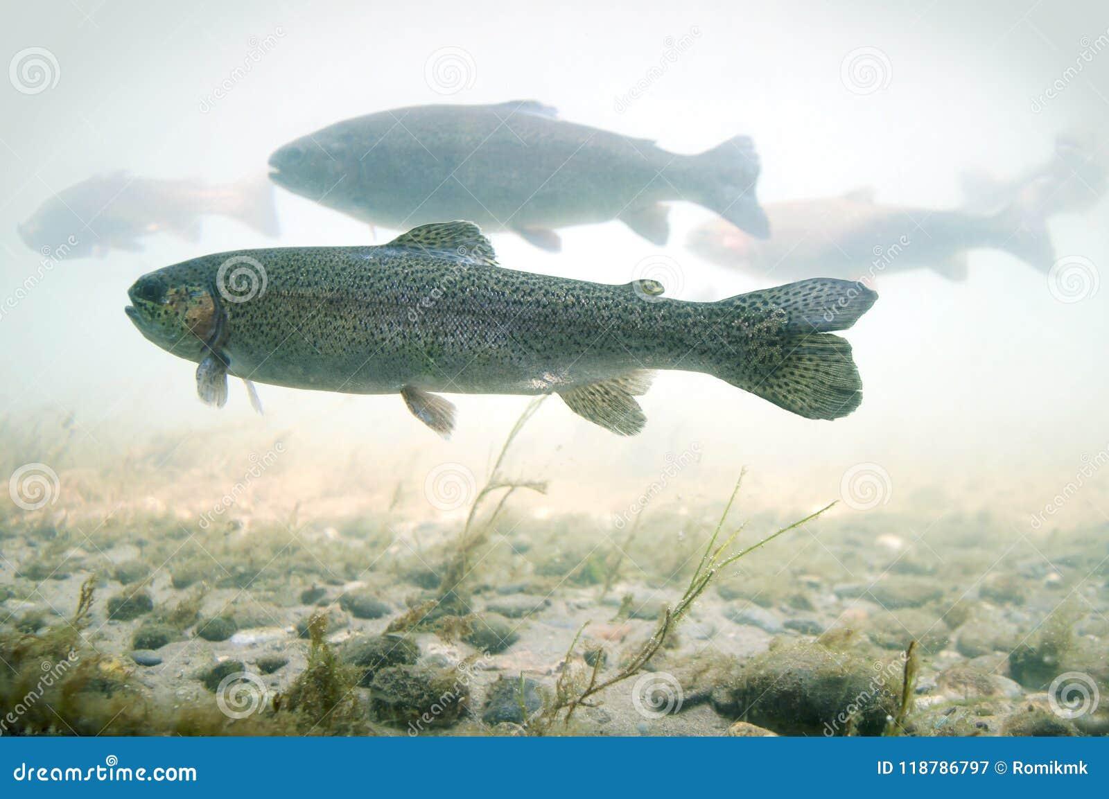 Forelvlotters in een rivier met een rotsachtige bodem